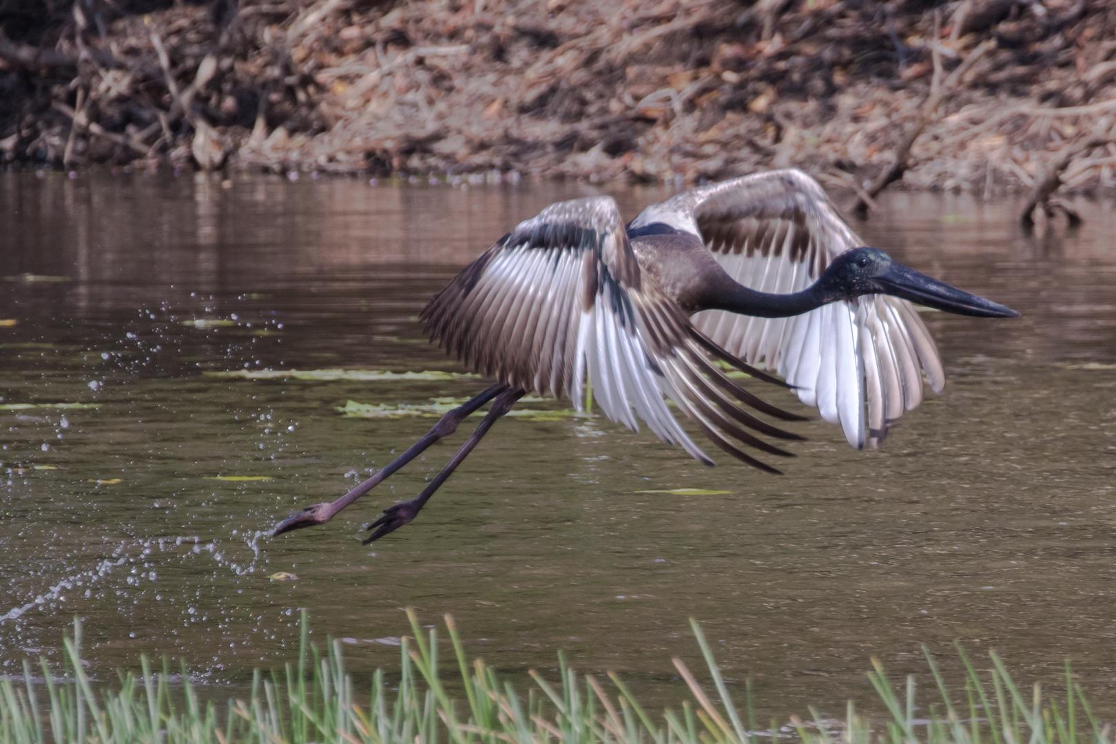 Black-necked Stork (Image ID 46160)