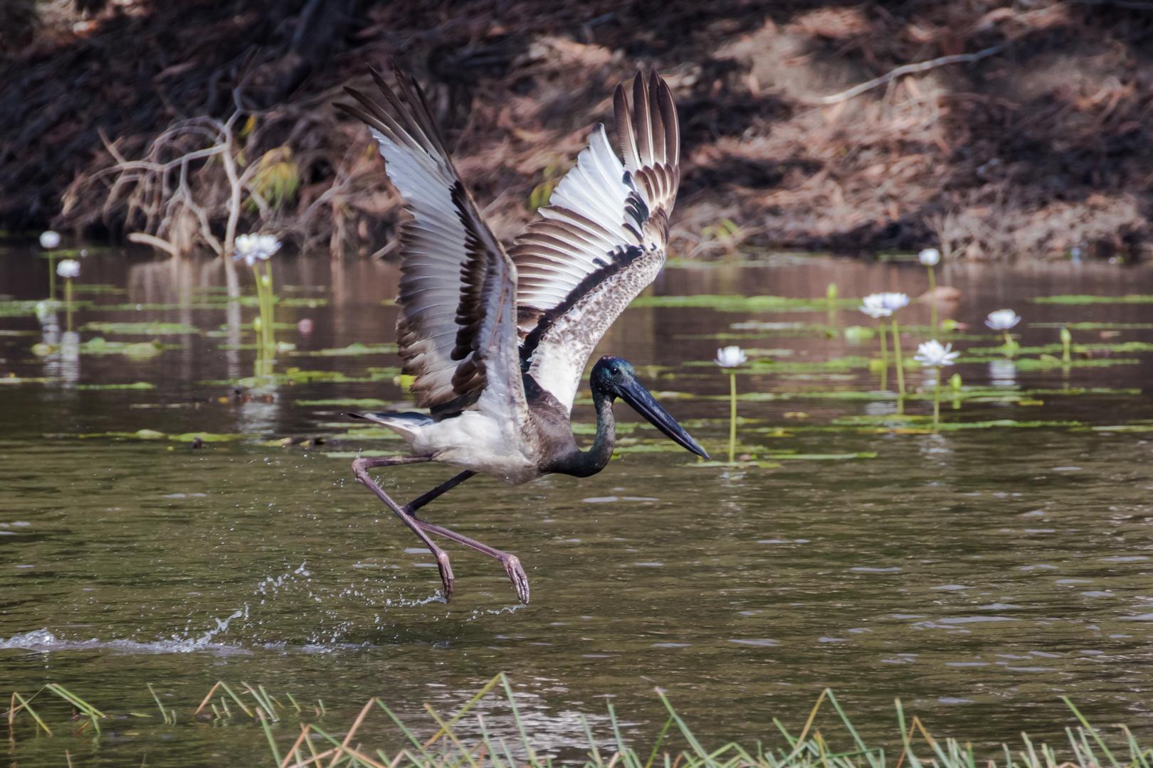 Black-necked Stork (Image ID 46161)