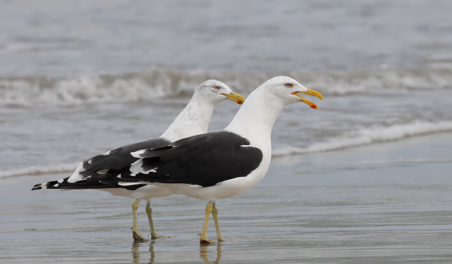 Kelp Gull (Image ID 46121)