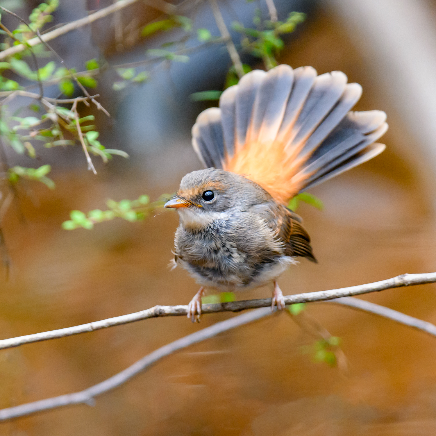 Rufous Fantail (Image ID 46155)