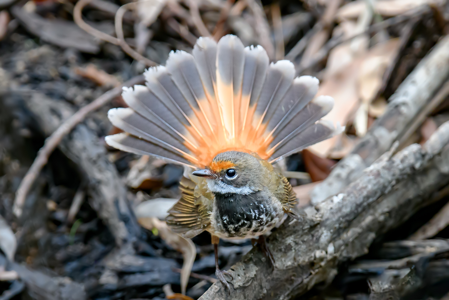 Rufous Fantail (Image ID 46080)