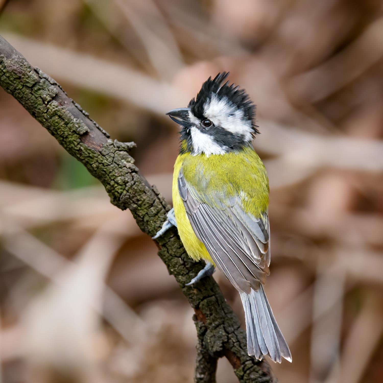 Eastern Shrike-tit (Image ID 46078)