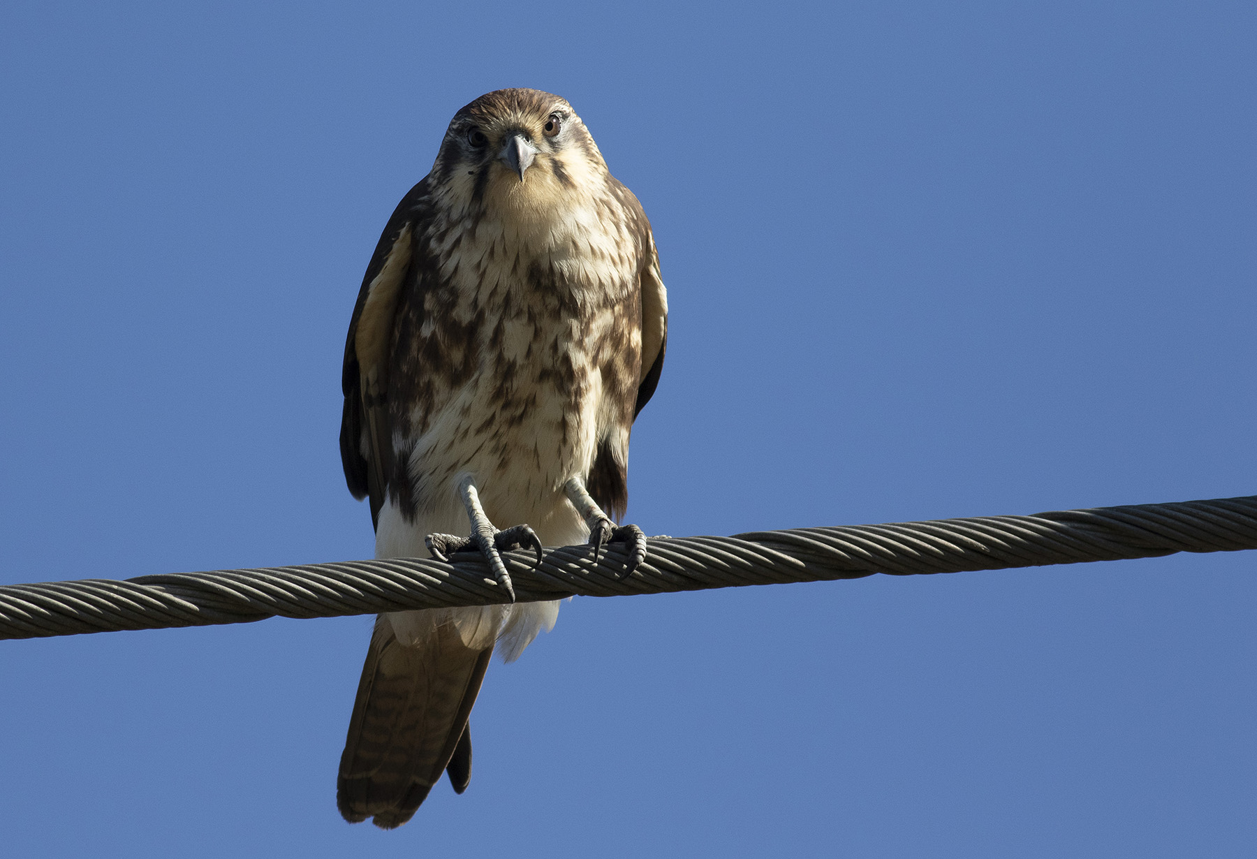 Brown Falcon (Image ID 46184)