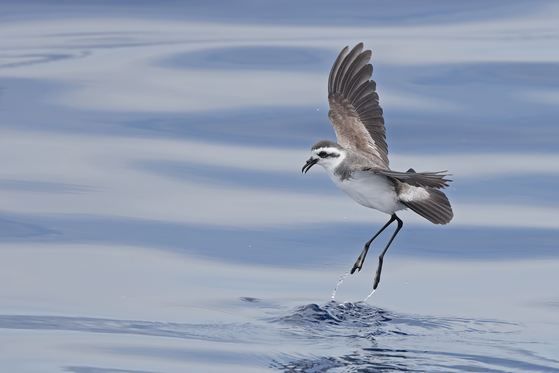 White-faced Storm-Petrel (Image ID 45931)
