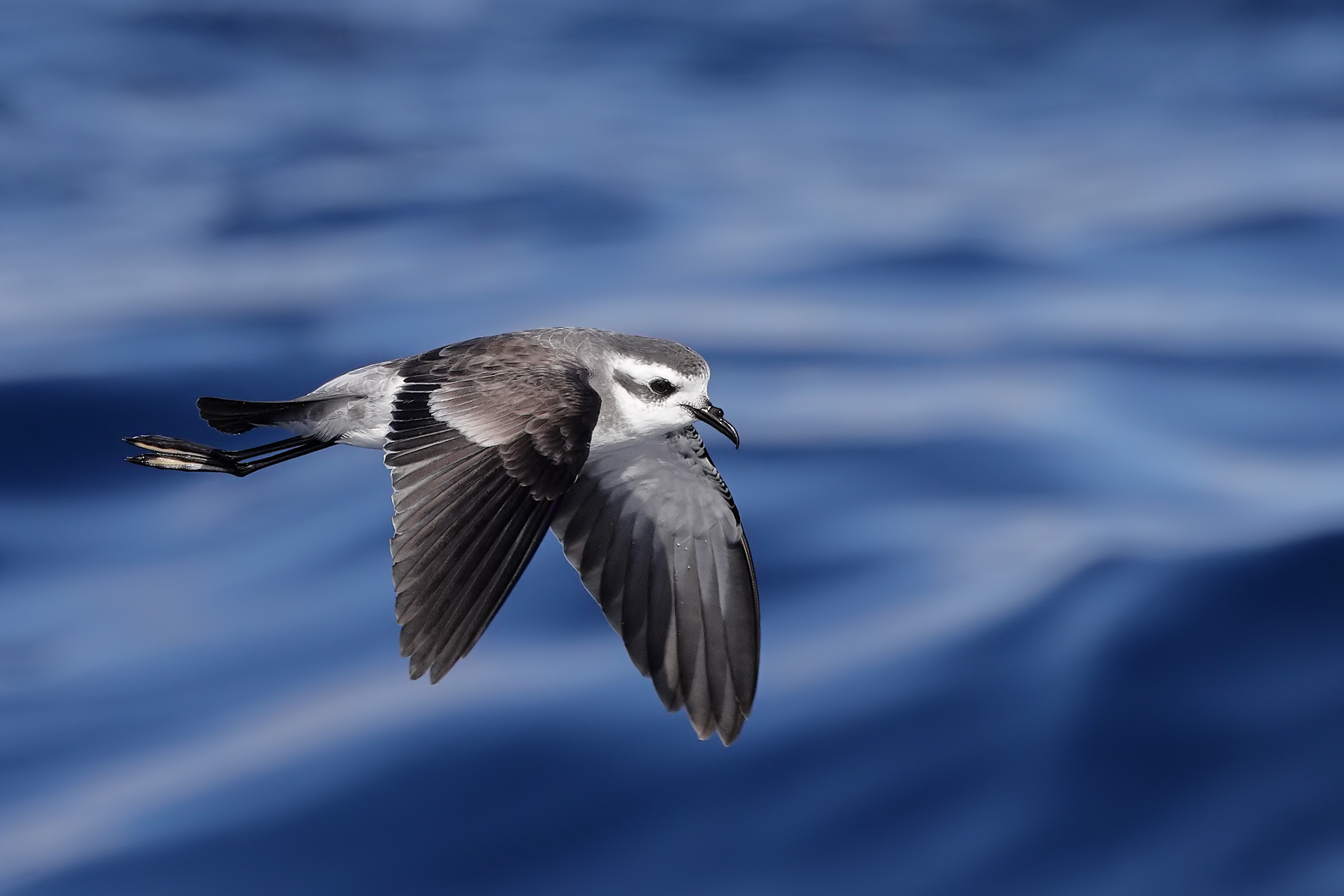 White-faced Storm-Petrel (Image ID 45930)