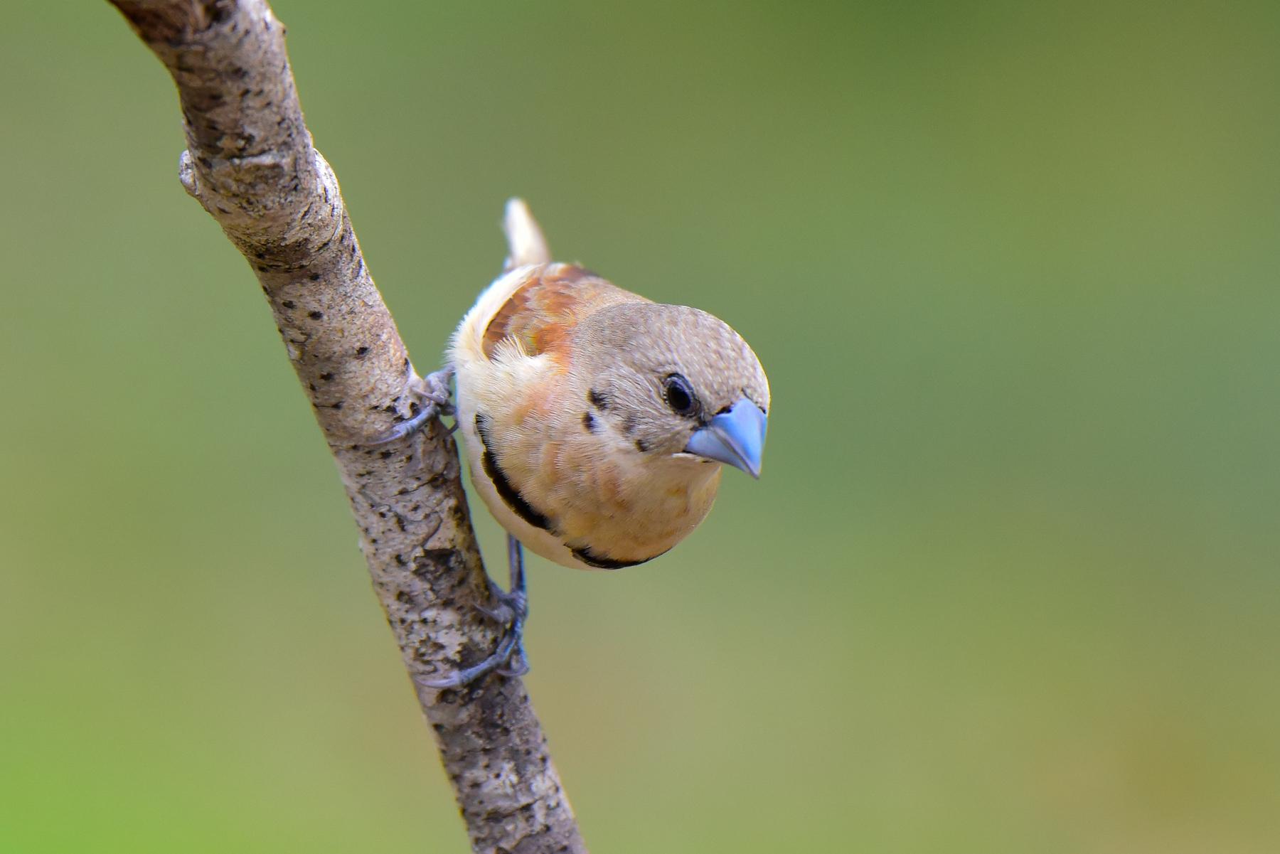 Chestnut-breasted Mannikin (Image ID 46517)