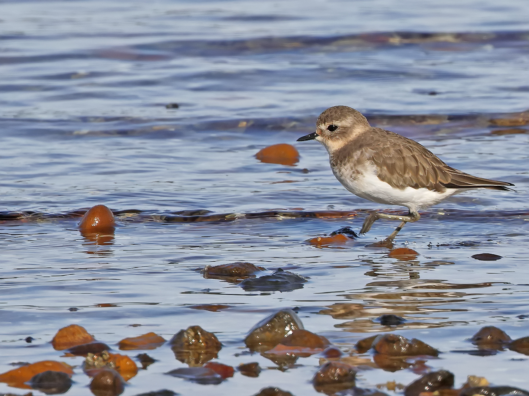 Double-banded Plover (Image ID 46009)
