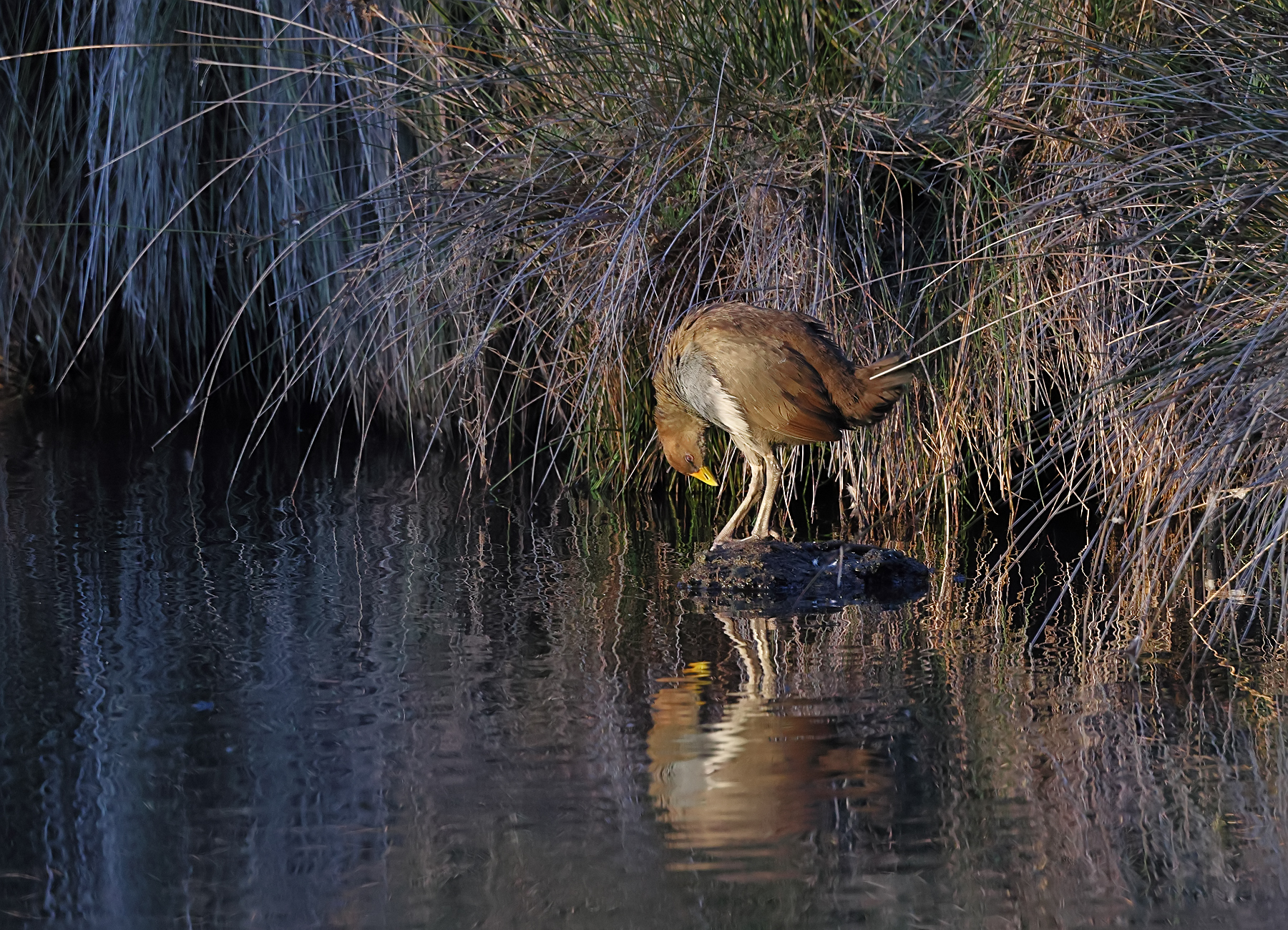Tasmanian Native-hen (Image ID 46390)