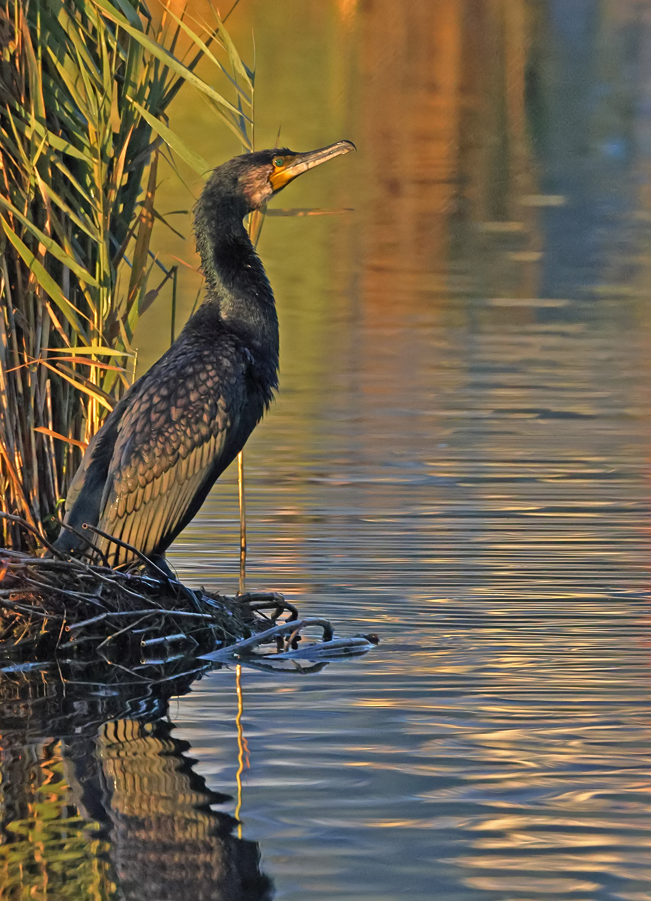 Great Cormorant (Image ID 46494)
