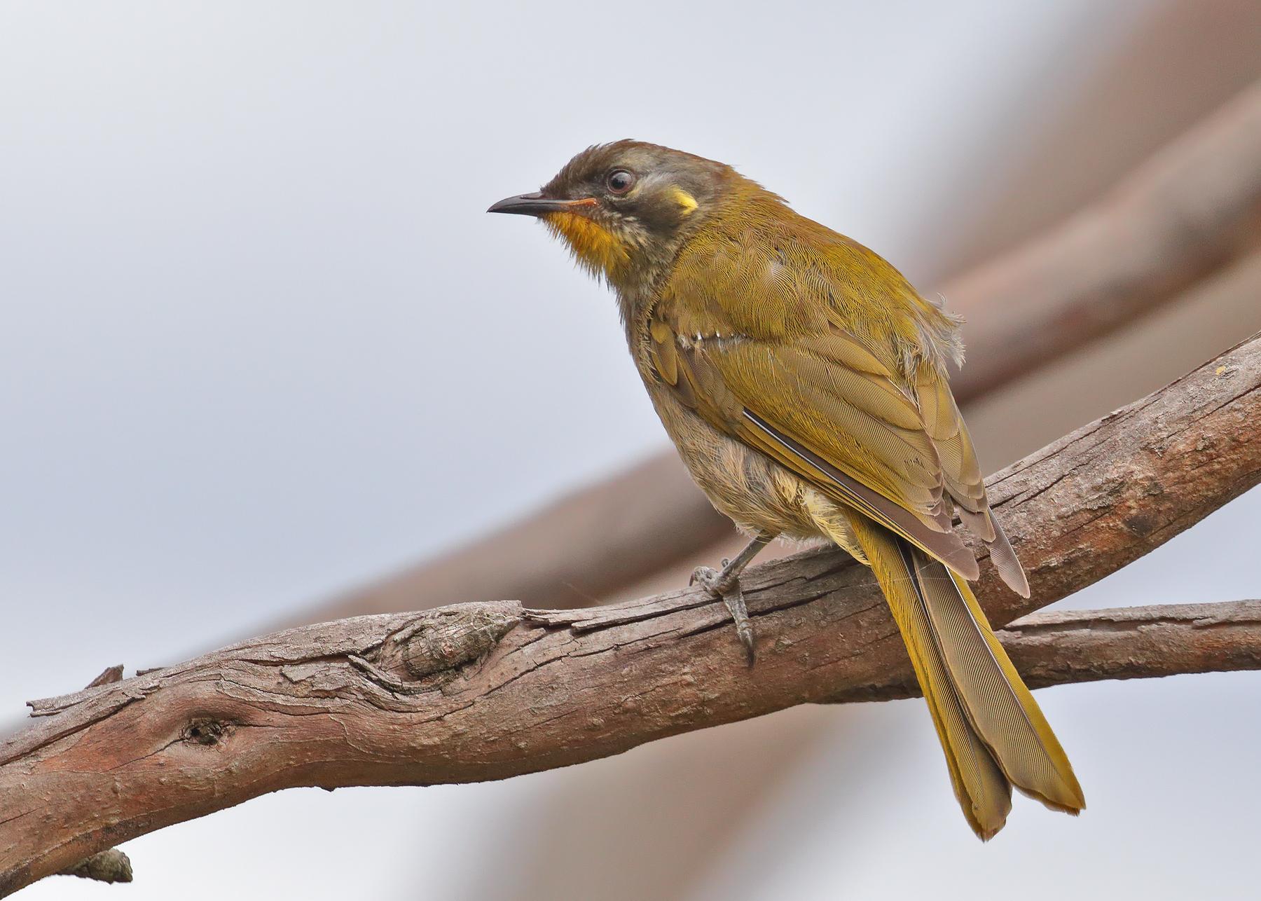 Yellow-throated Honeyeater (Image ID 46349)