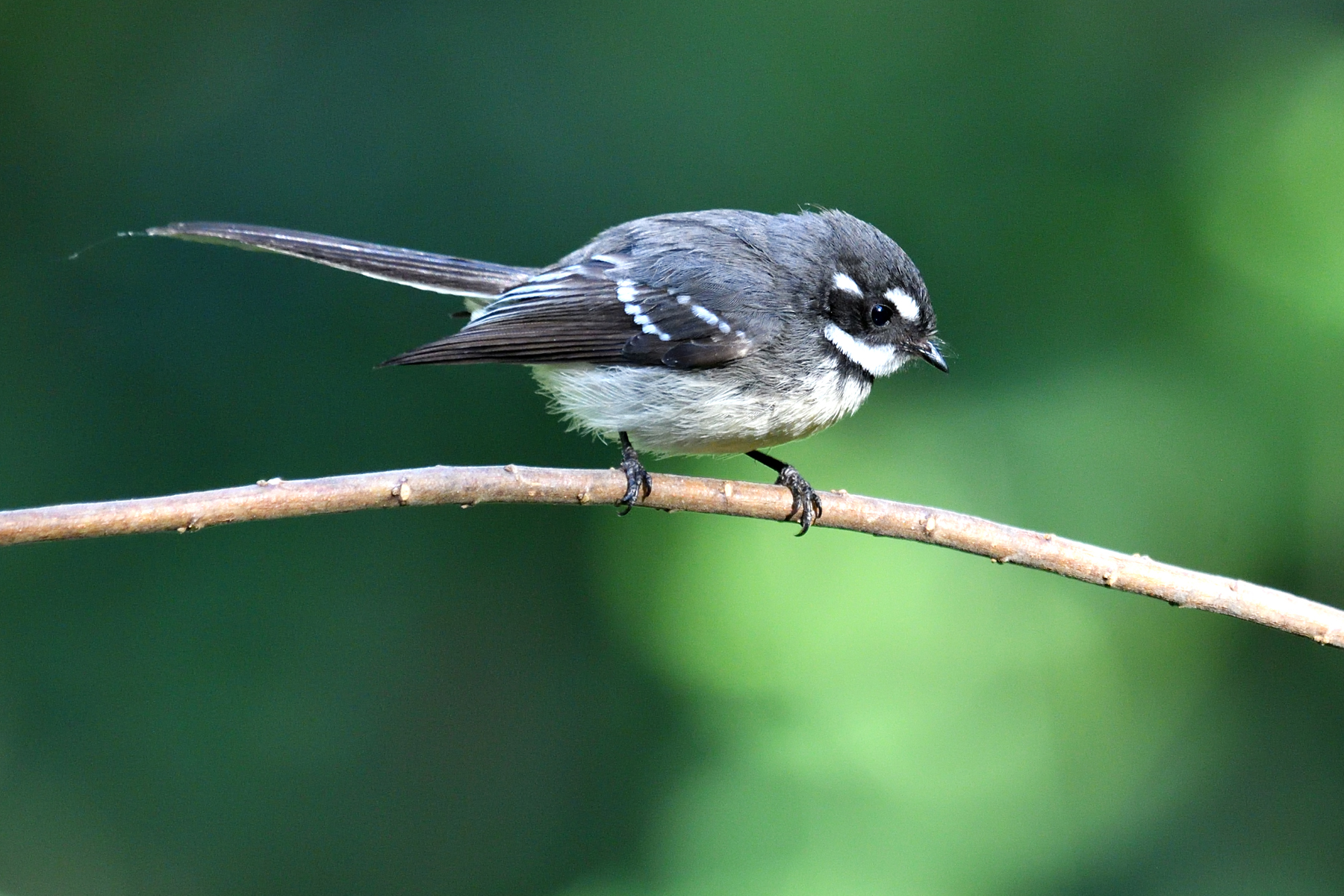 Grey Fantail (Image ID 46487)