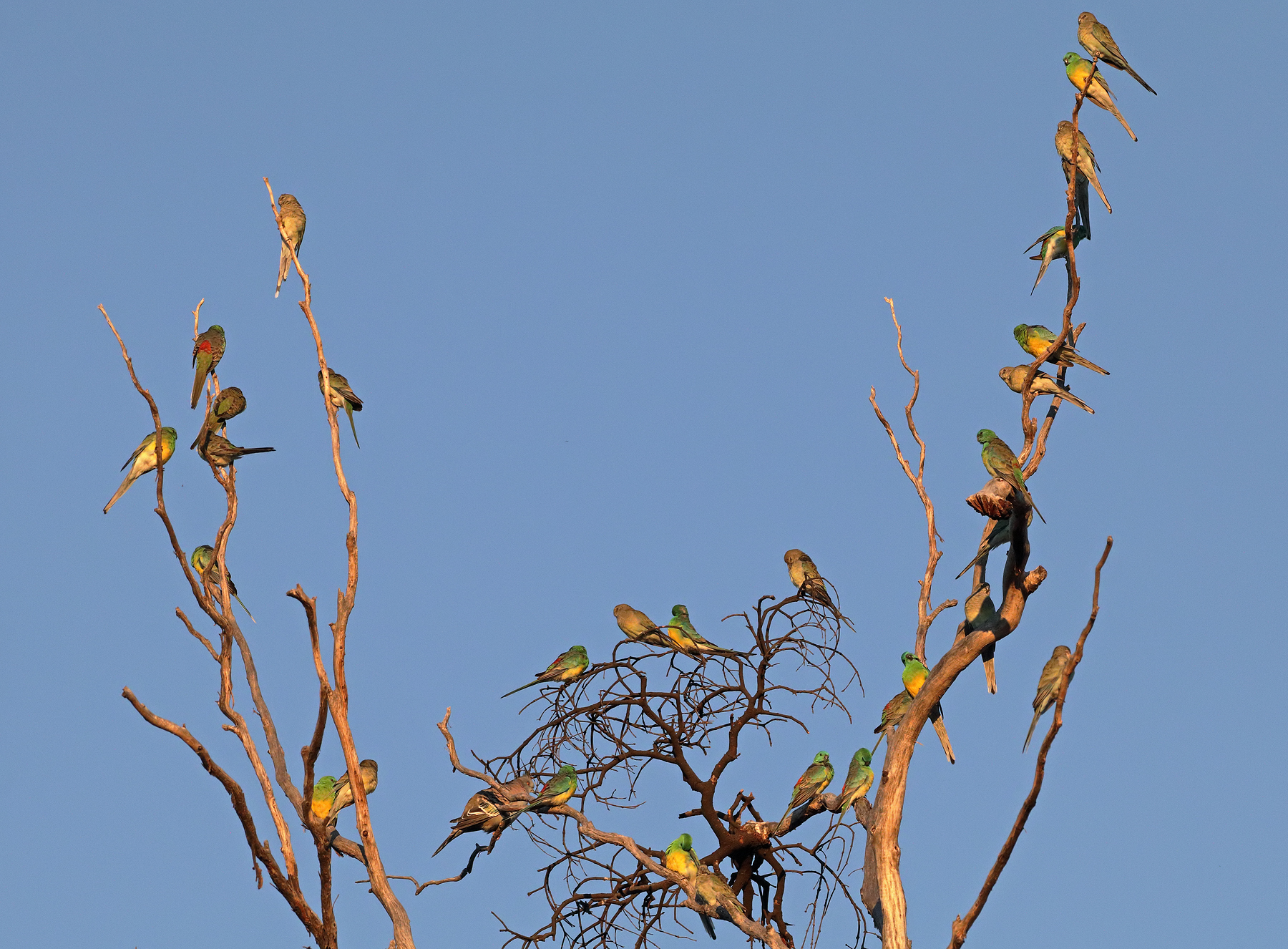 Red-rumped Parrot (Image ID 46418)