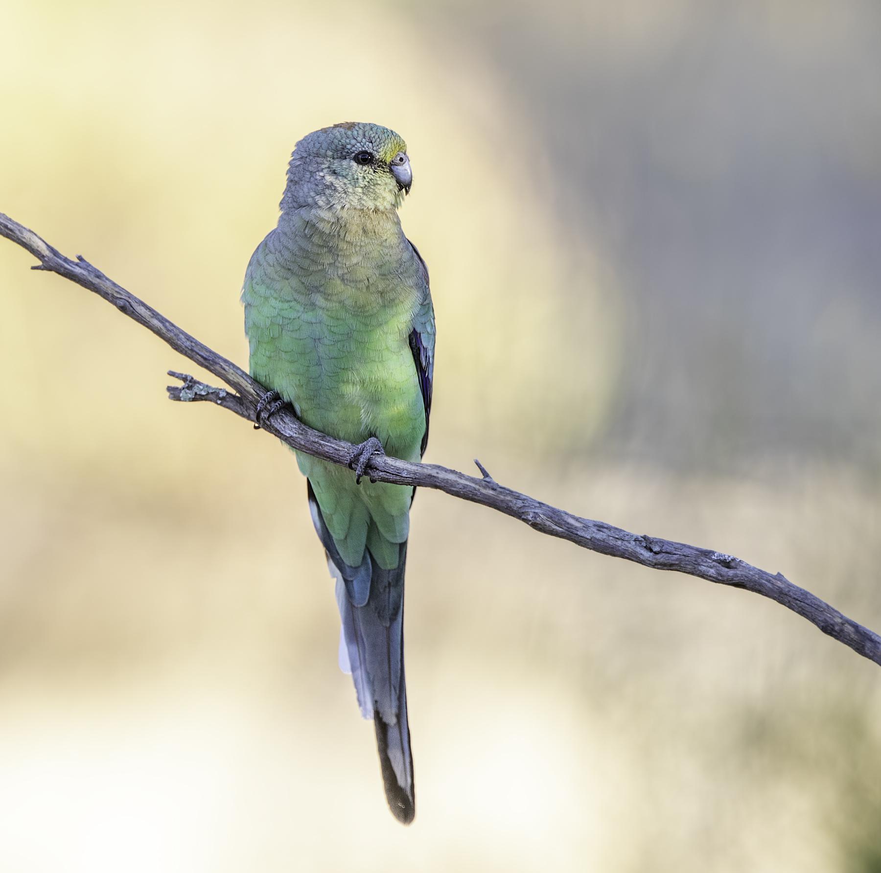 Mulga Parrot (Image ID 46057)