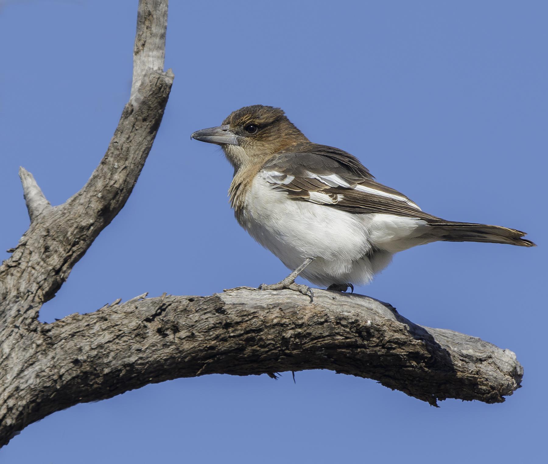 Pied Butcherbird (Image ID 46297)