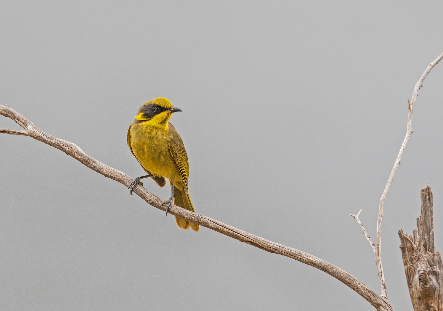 Yellow-tufted Honeyeater (Image ID 46197)