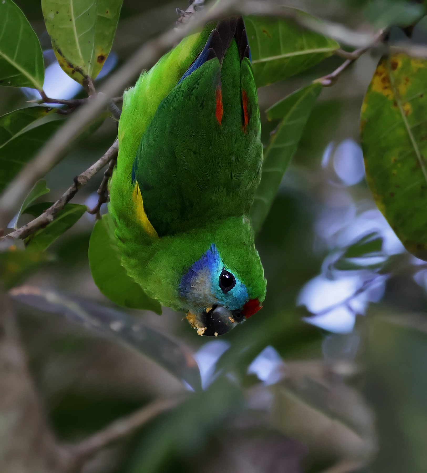 Double-eyed Fig-Parrot (Image ID 46393)