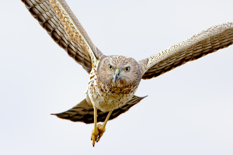 Swamp Harrier (Image ID 46141)