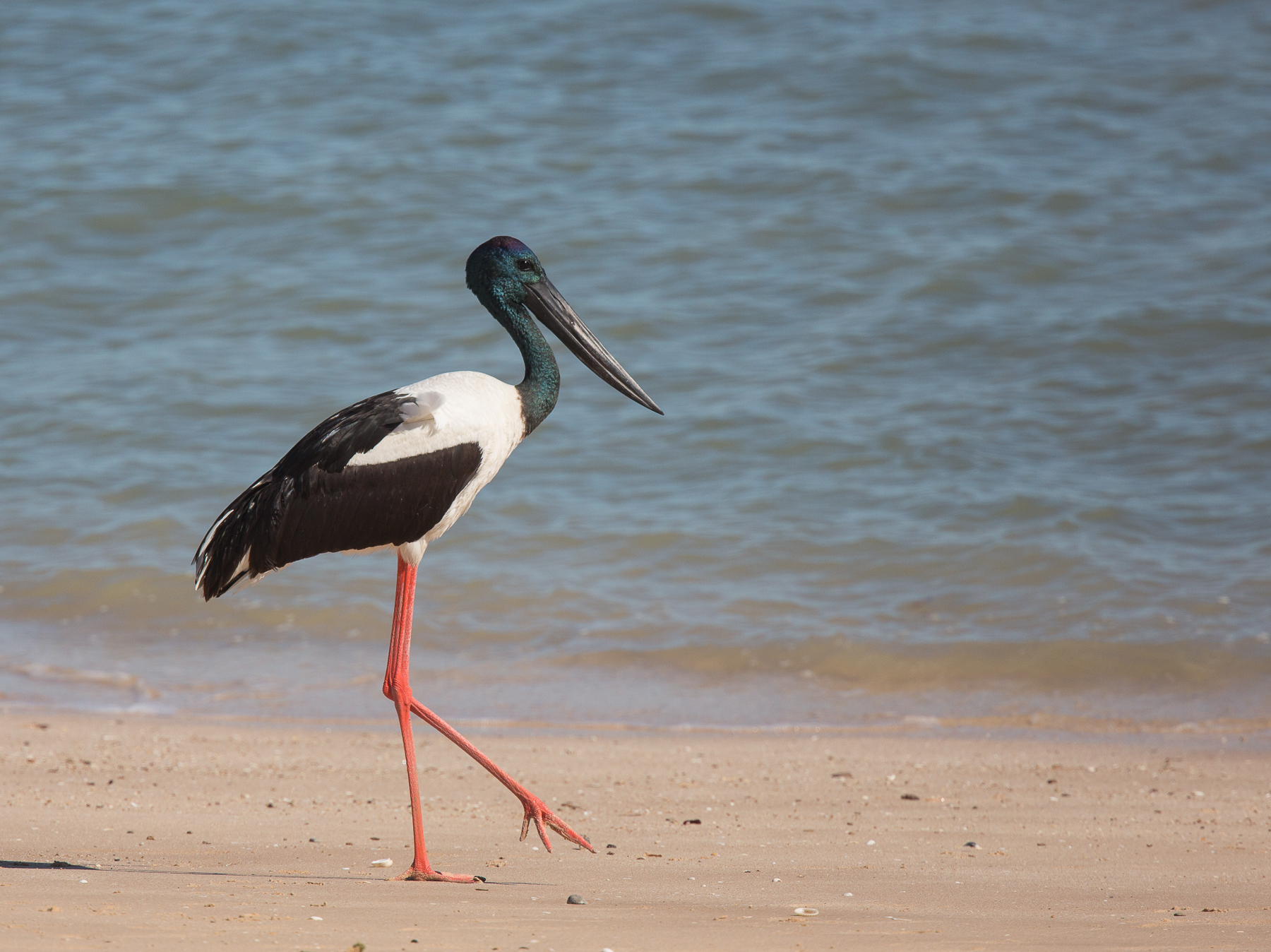 Black-necked Stork (Image ID 46276)