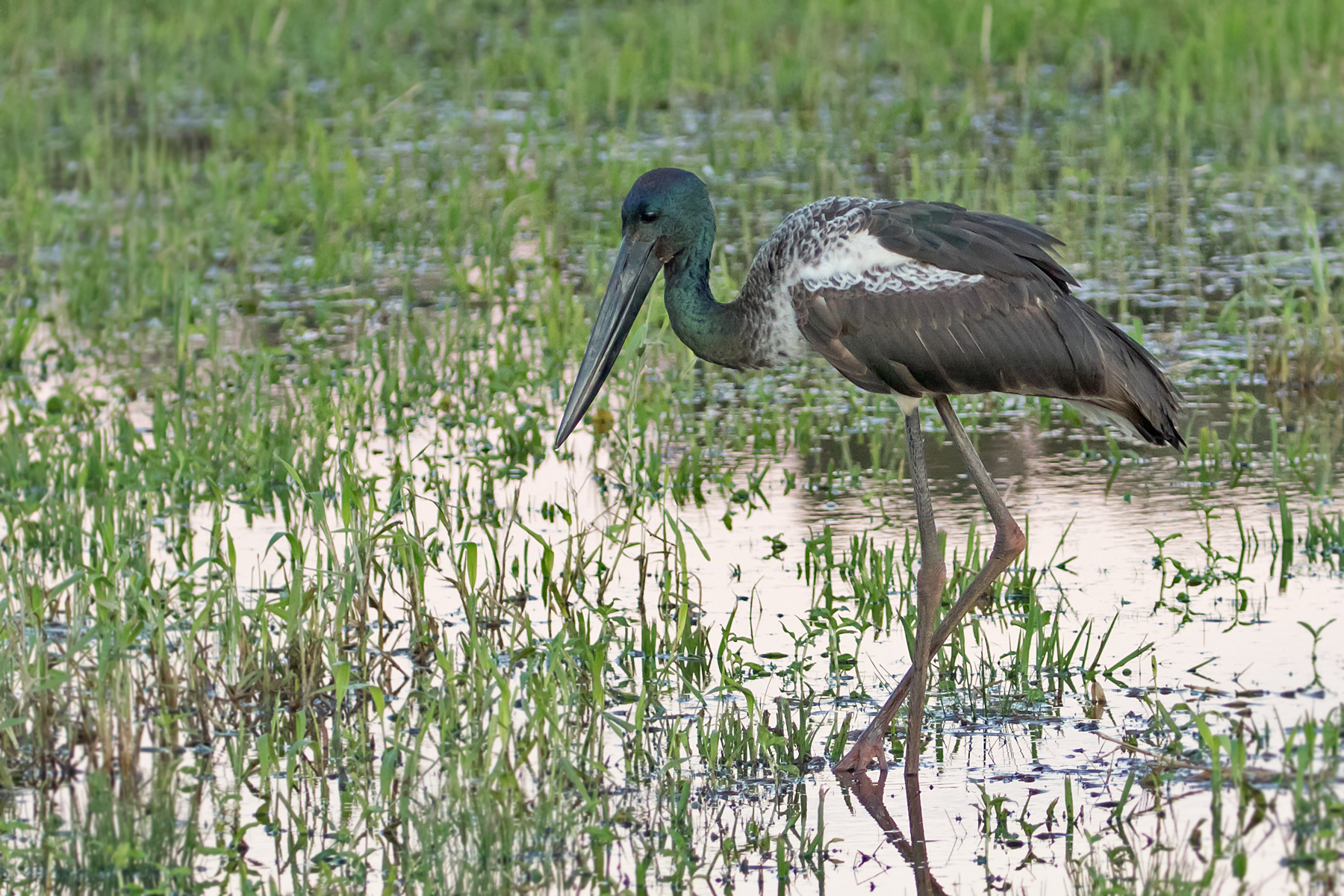 Black-necked Stork (Image ID 46379)