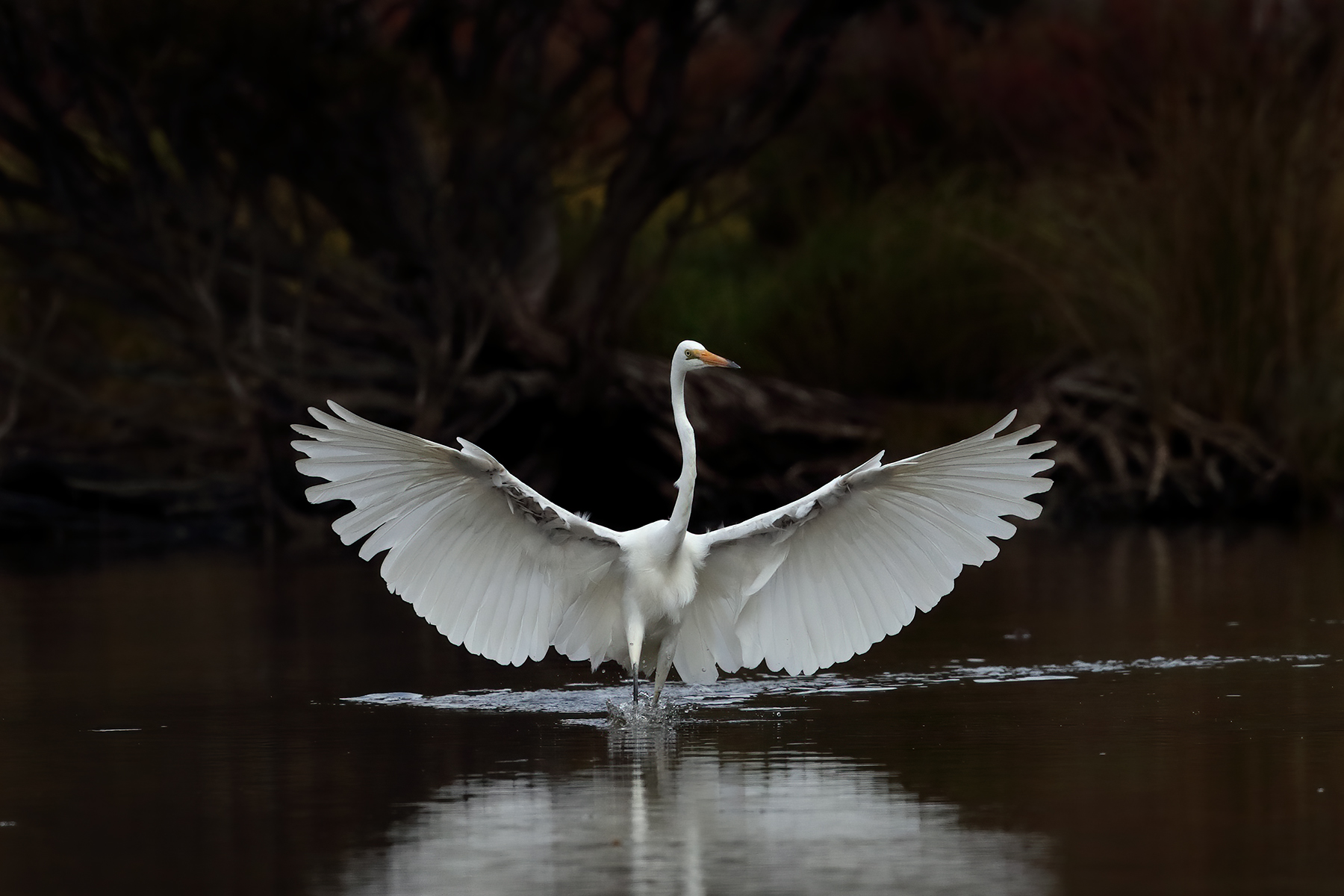 Great Egret (Image ID 46163)