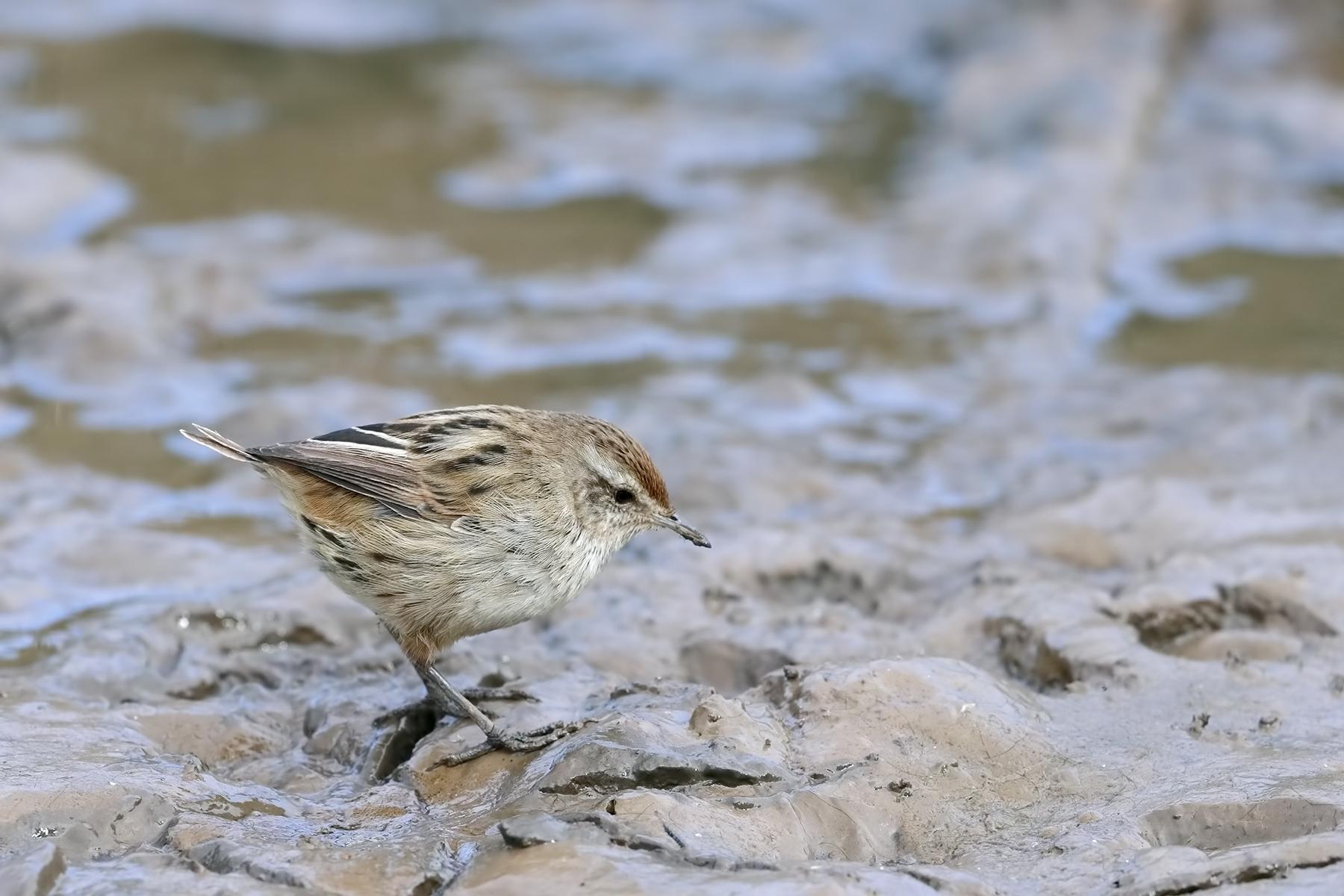 Little Grassbird (Image ID 46114)