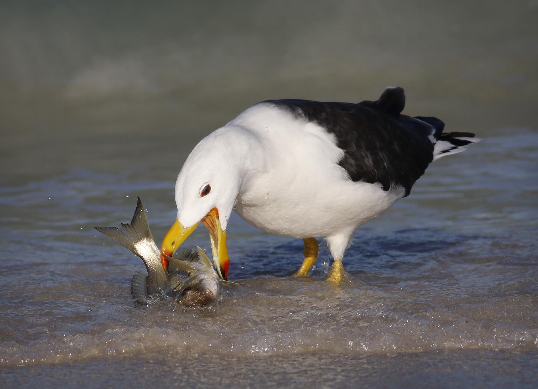 Pacific Gull (Image ID 46489)