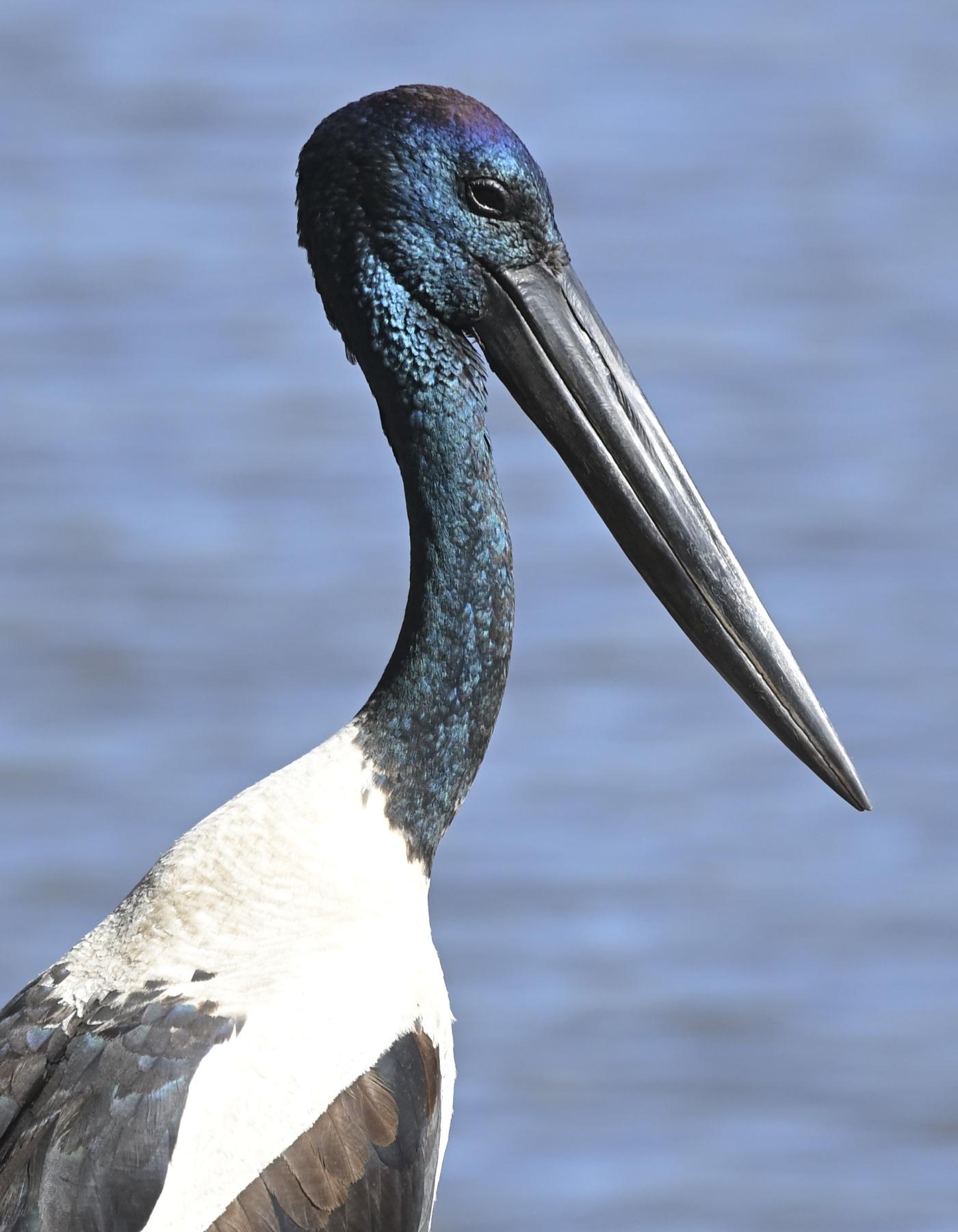 Black-necked Stork (Image ID 45978)