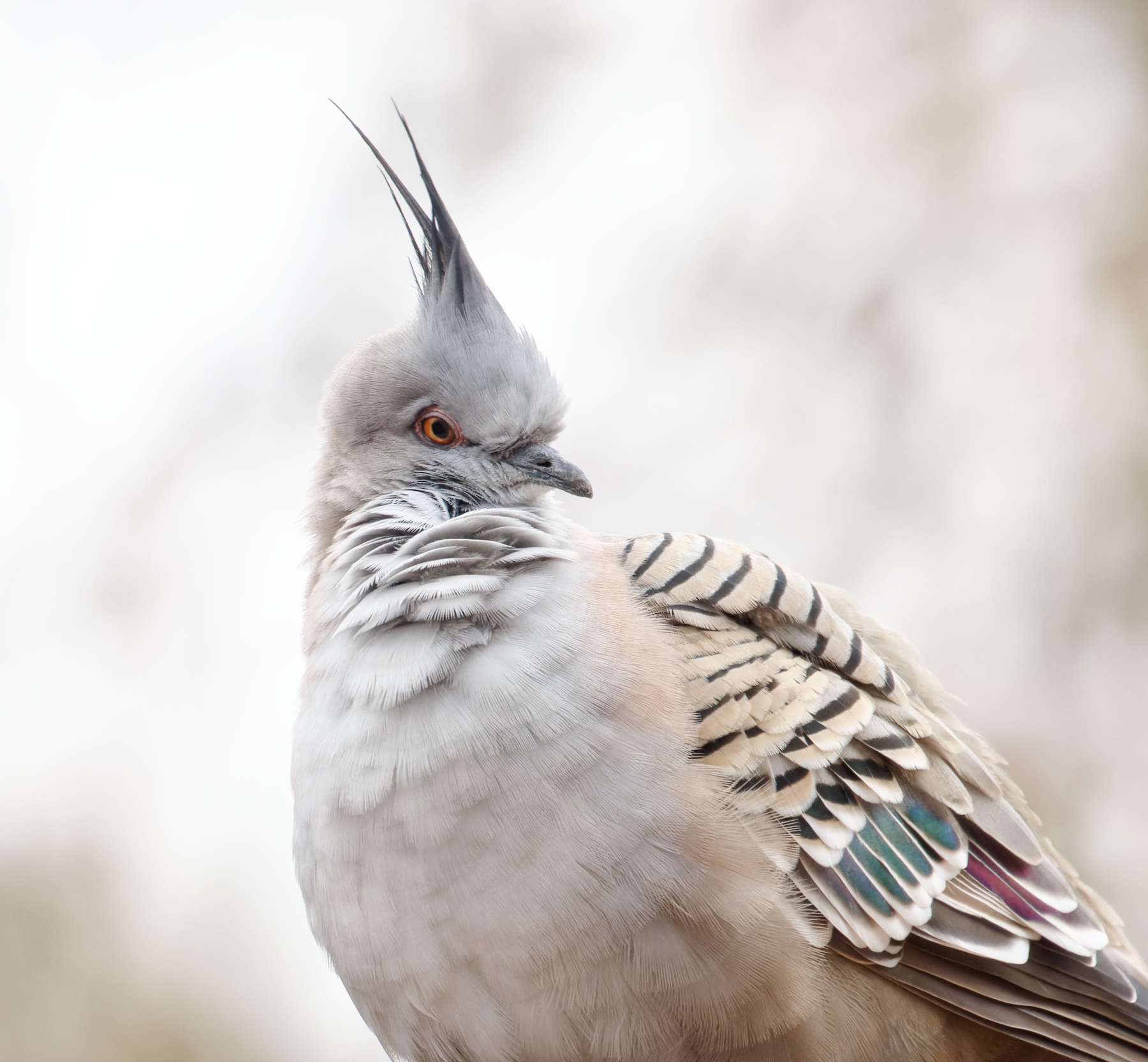 Crested Pigeon (Image ID 46366)