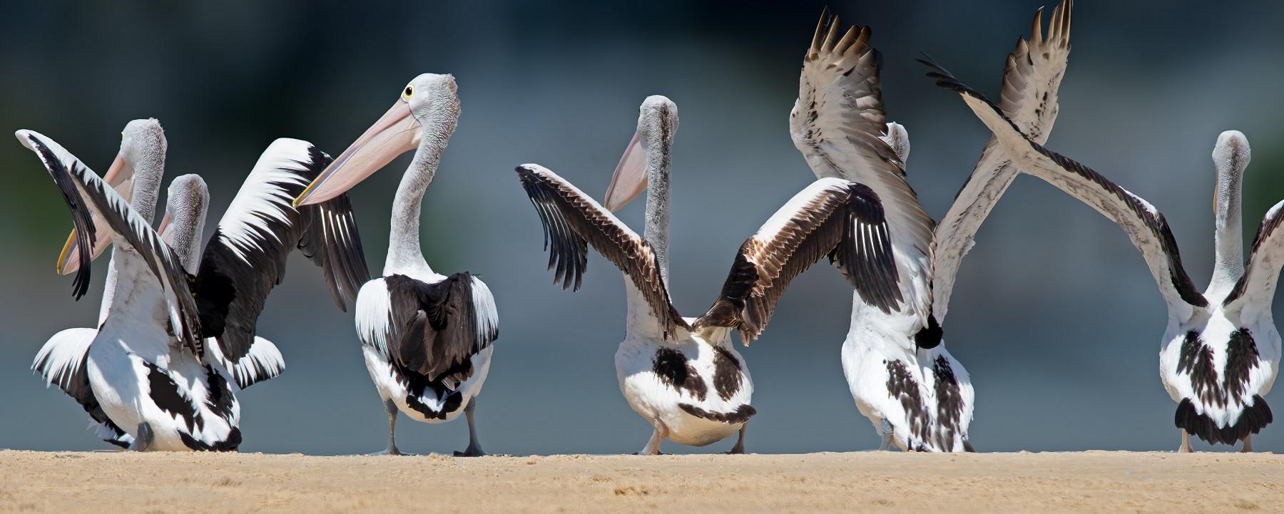 Australian Pelican (Image ID 45991)