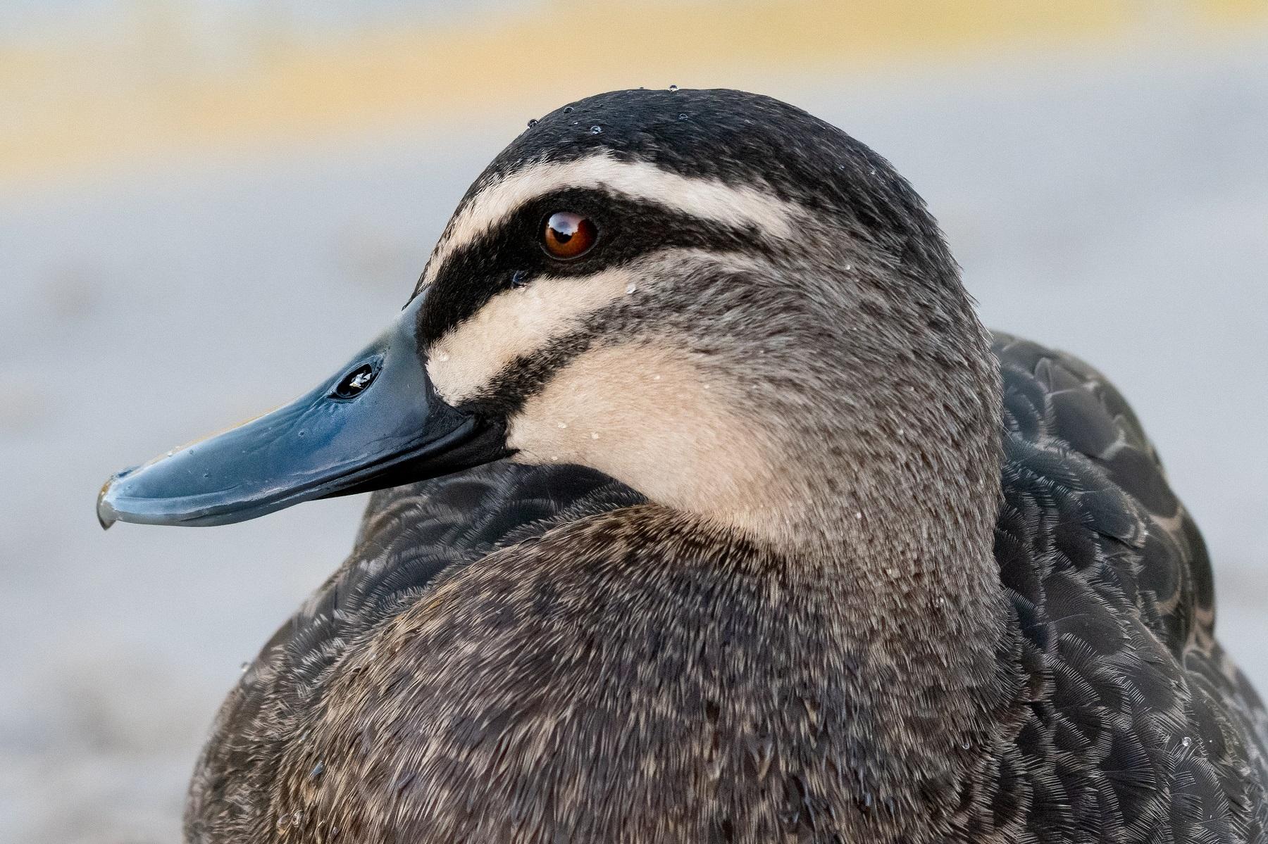 Pacific Black Duck (Image ID 46014)