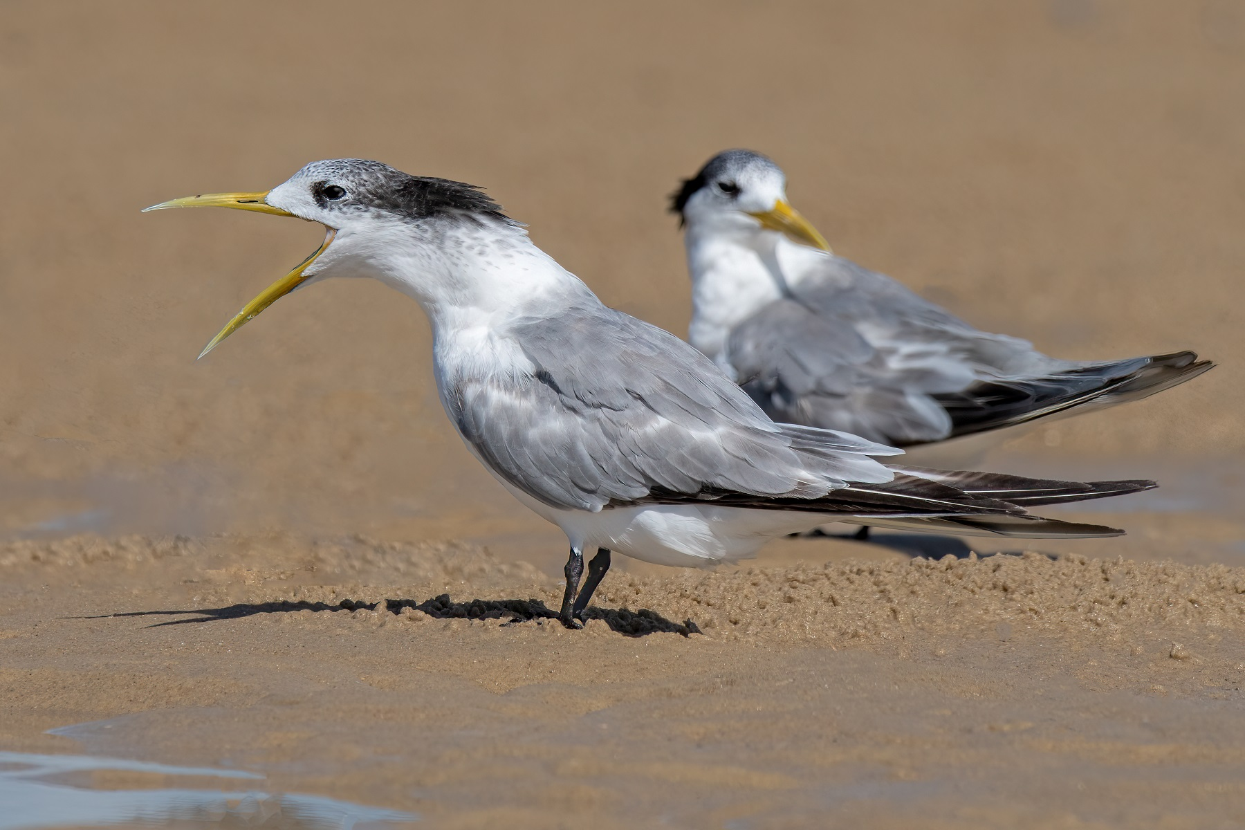 Greater Crested Tern (Image ID 45992)