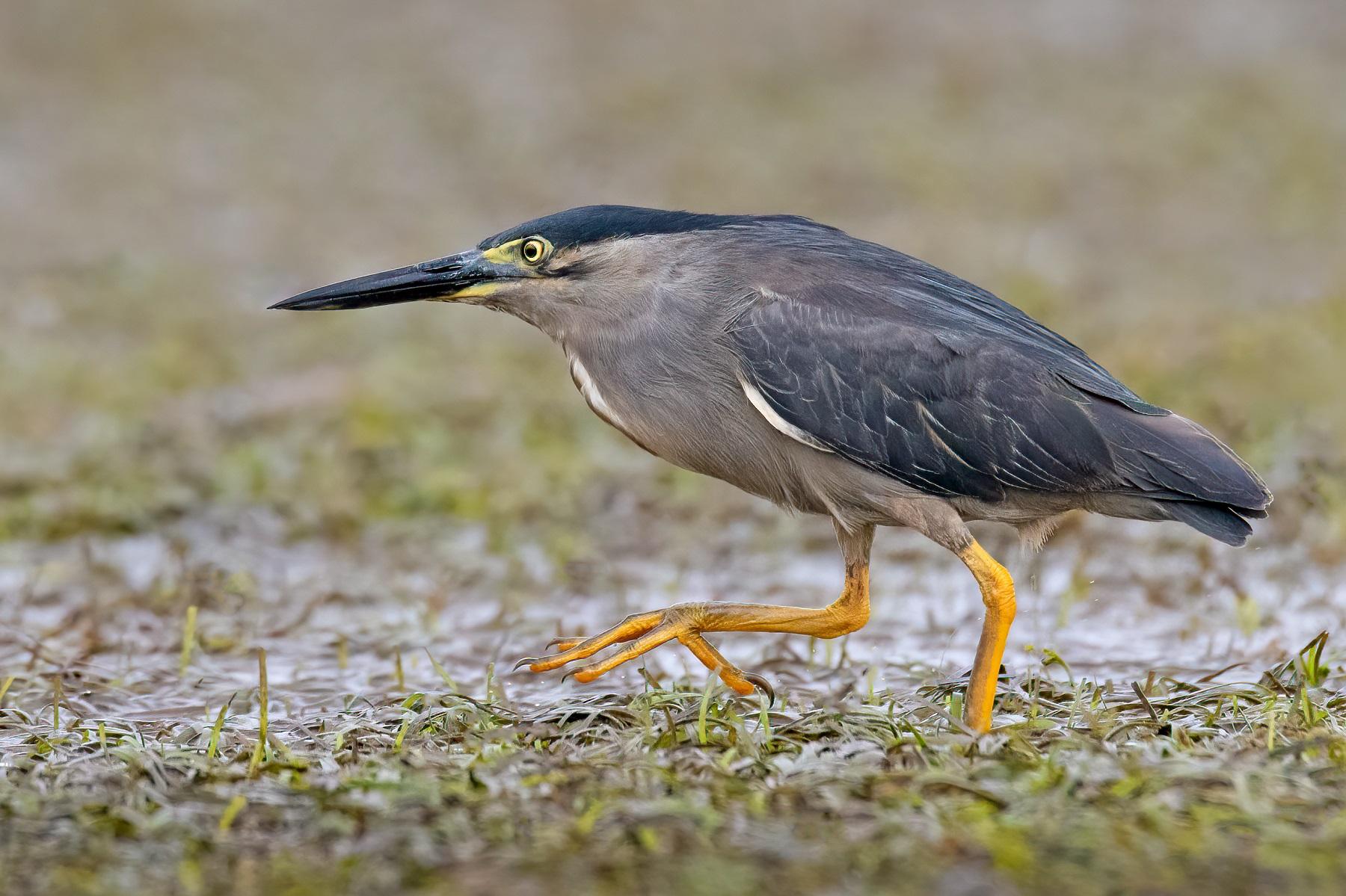 Striated Heron (Image ID 45993)