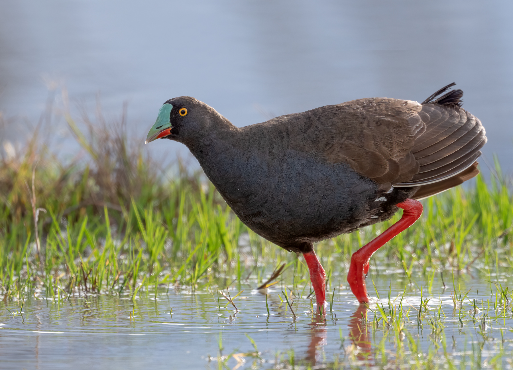 Black-tailed Native-hen (Image ID 46020)