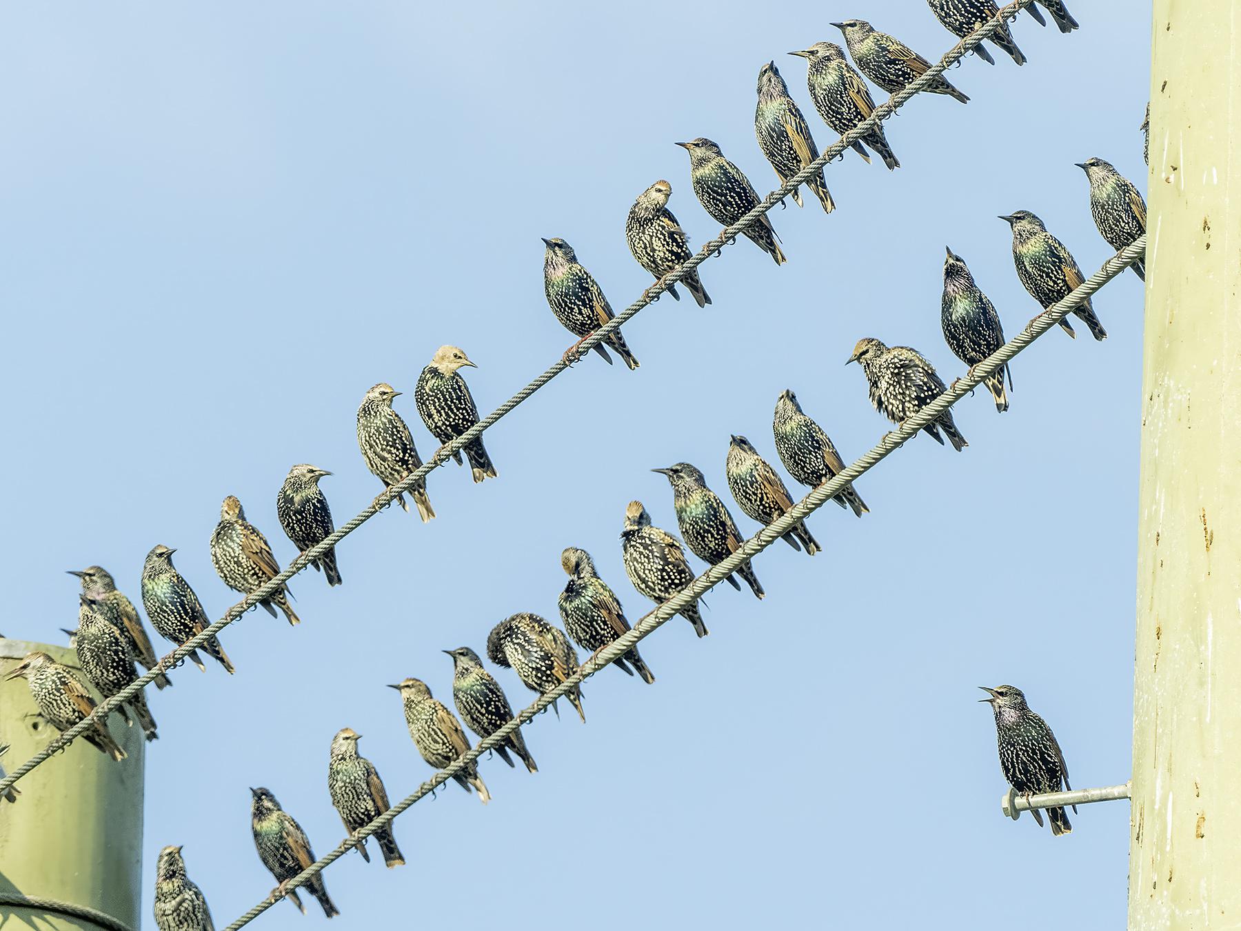 Common Starling (Image ID 46298)