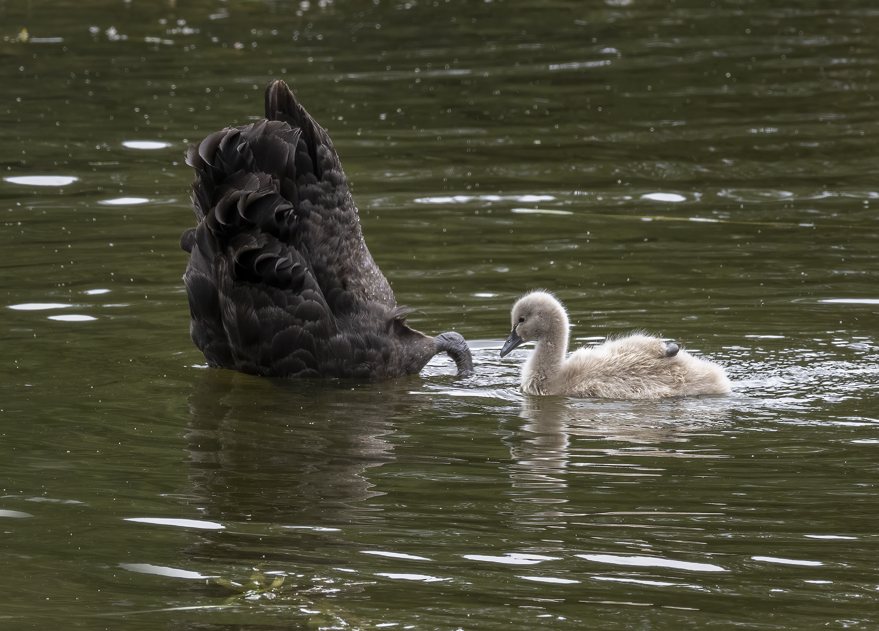 Black Swan (Image ID 45945)