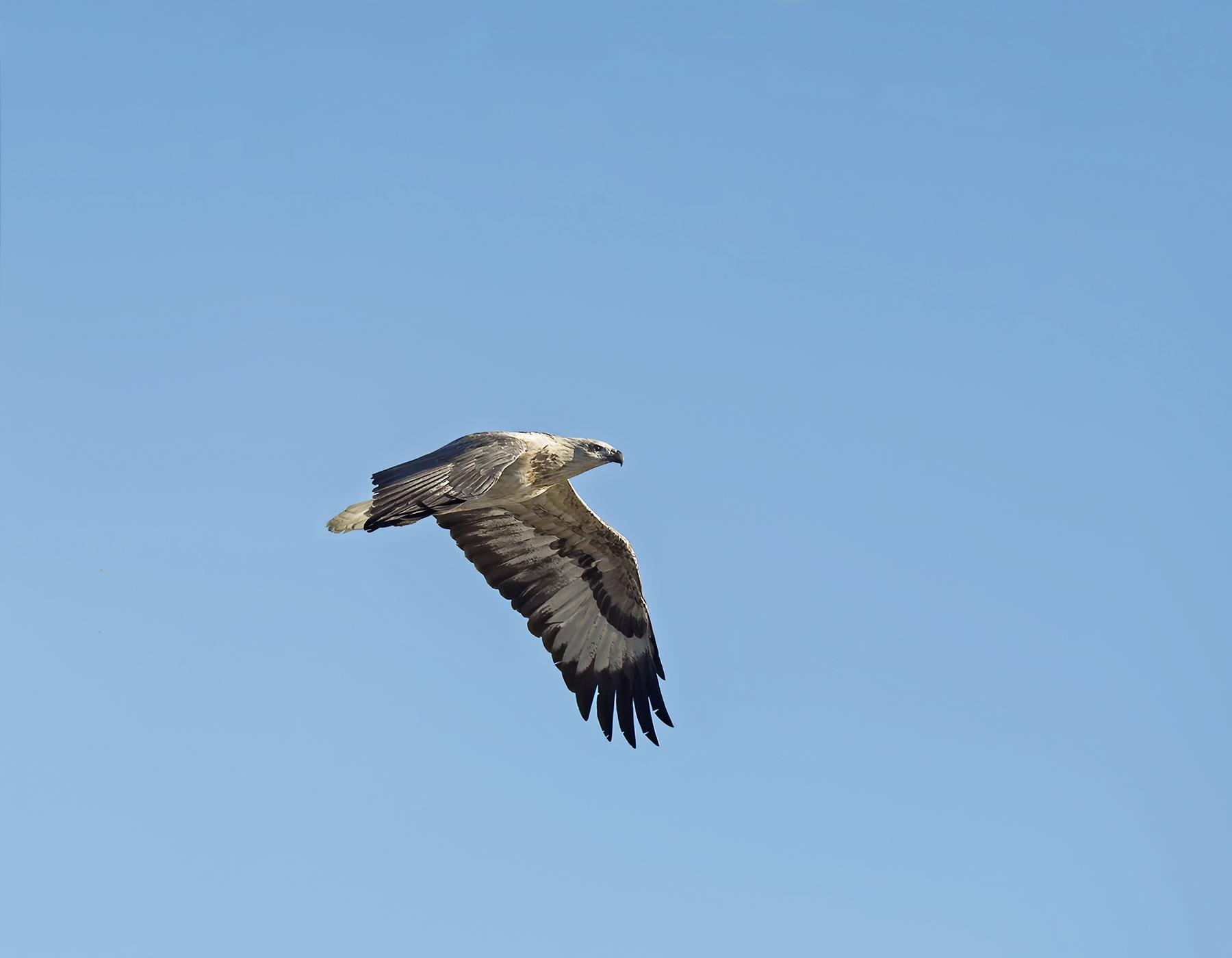 White-bellied Sea-Eagle (Image ID 46180)
