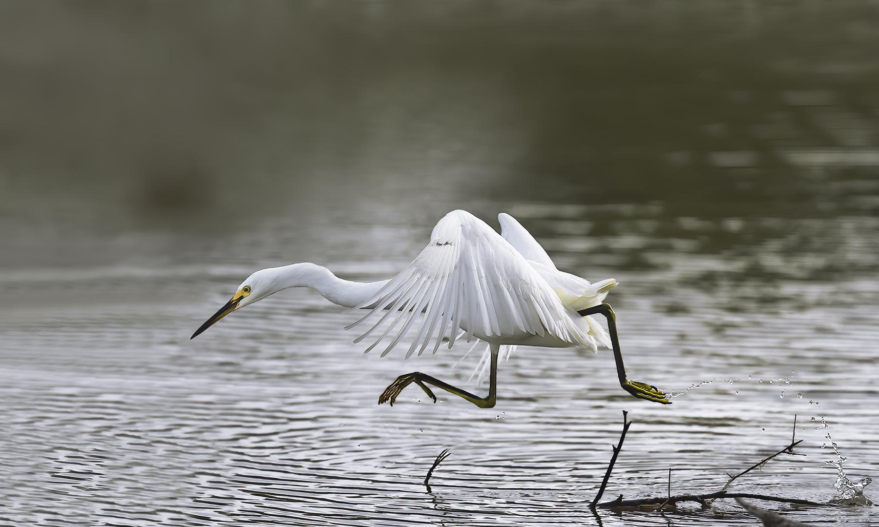 Little Egret (Image ID 46436)