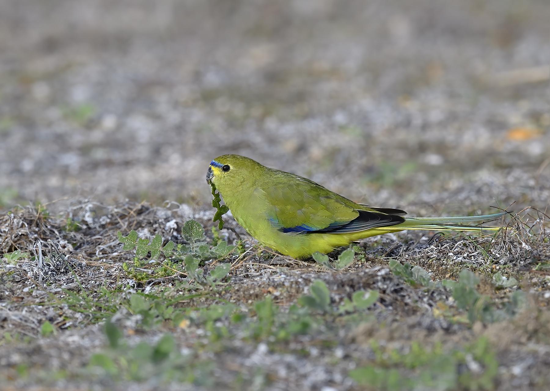 Elegant Parrot (Image ID 46485)