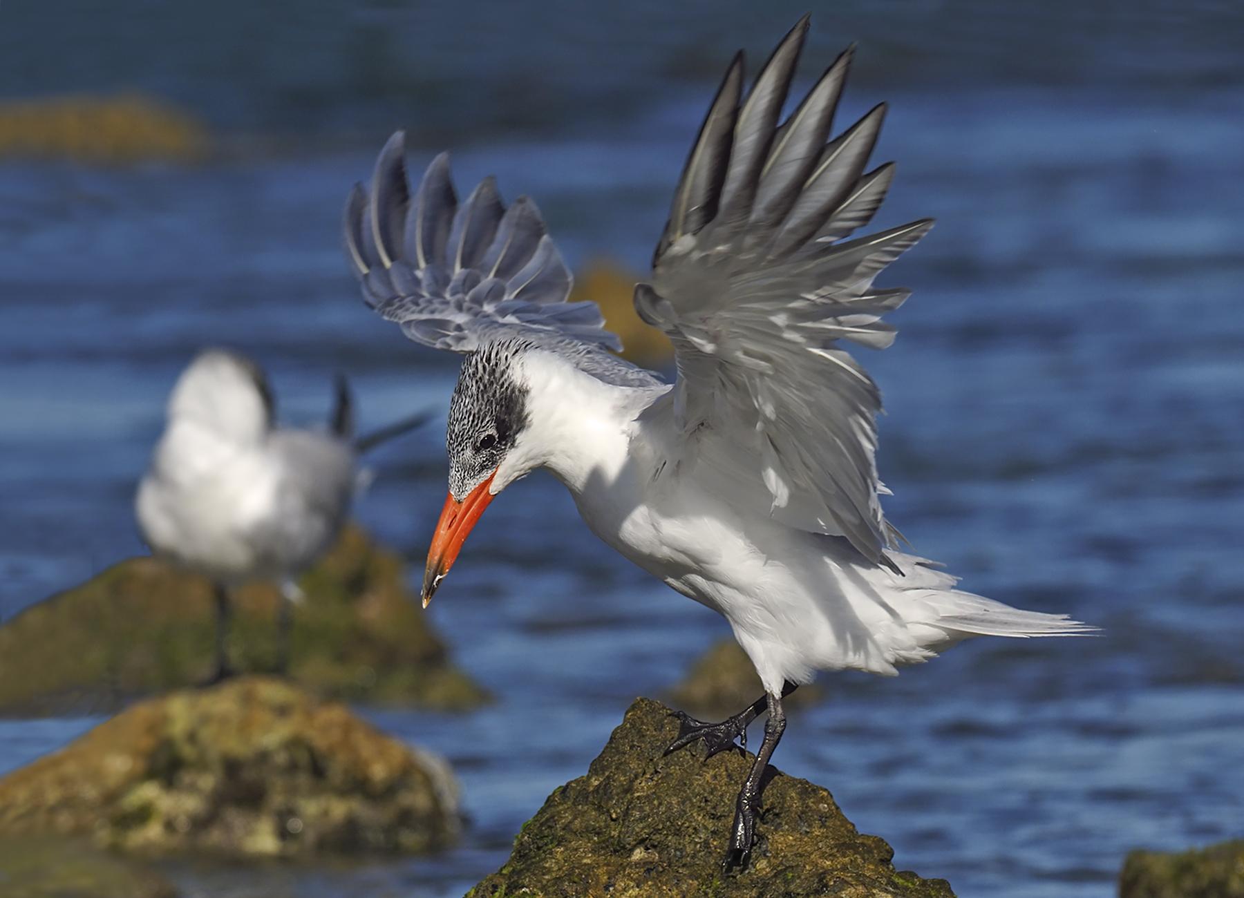 Caspian Tern (Image ID 46058)