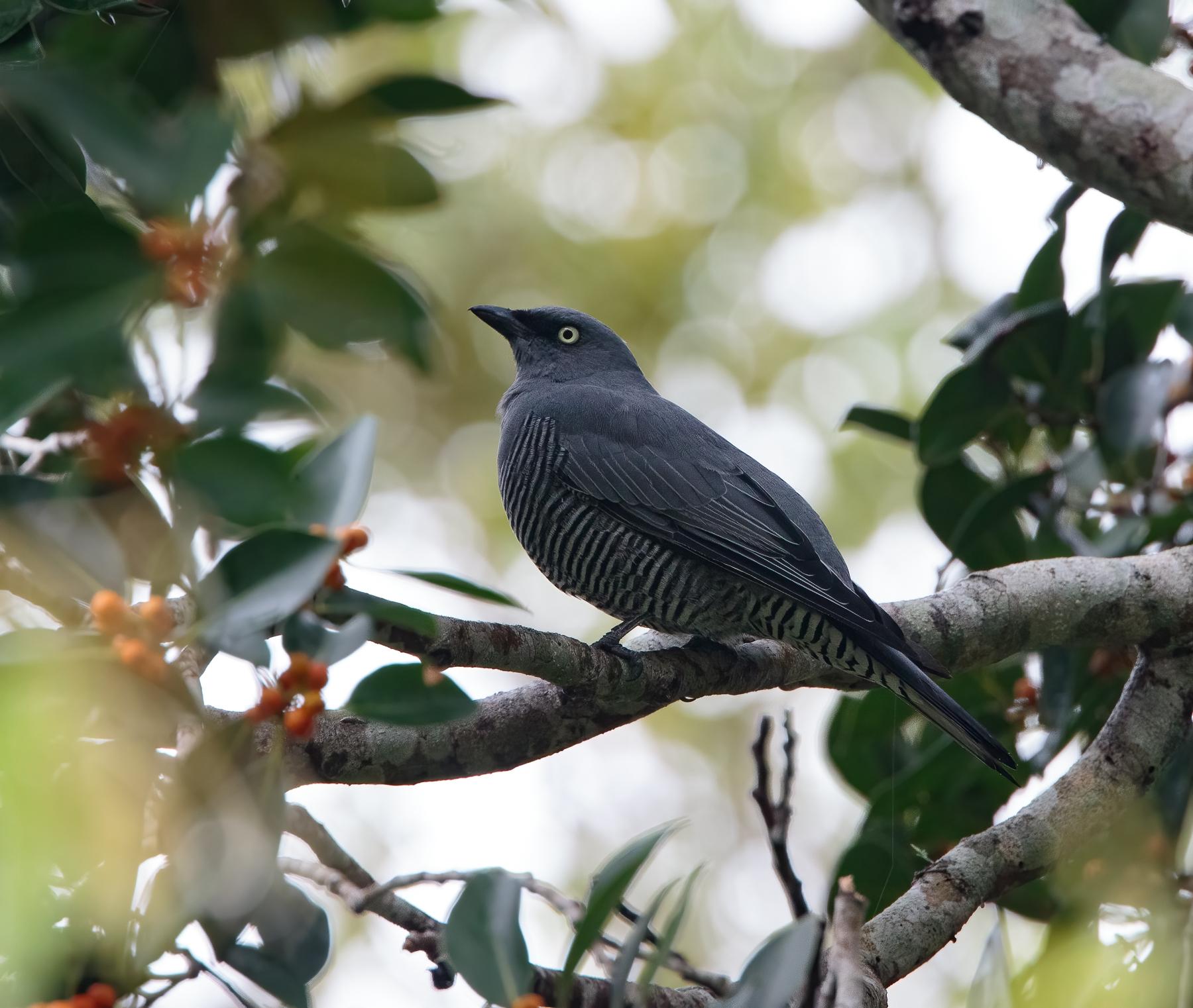 Barred Cuckoo-shrike (Image ID 46425)