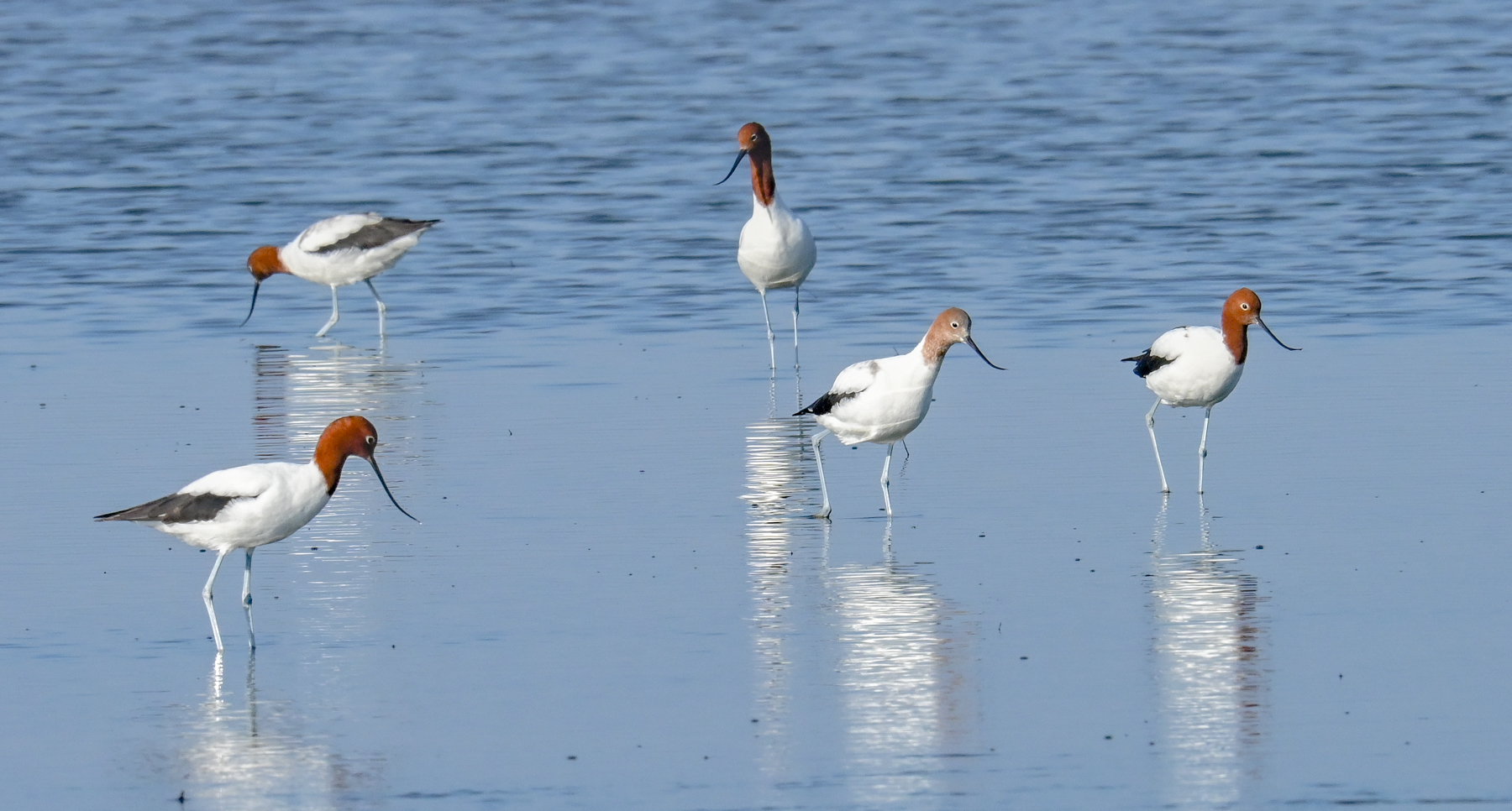 Red-necked Avocet (Image ID 46067)
