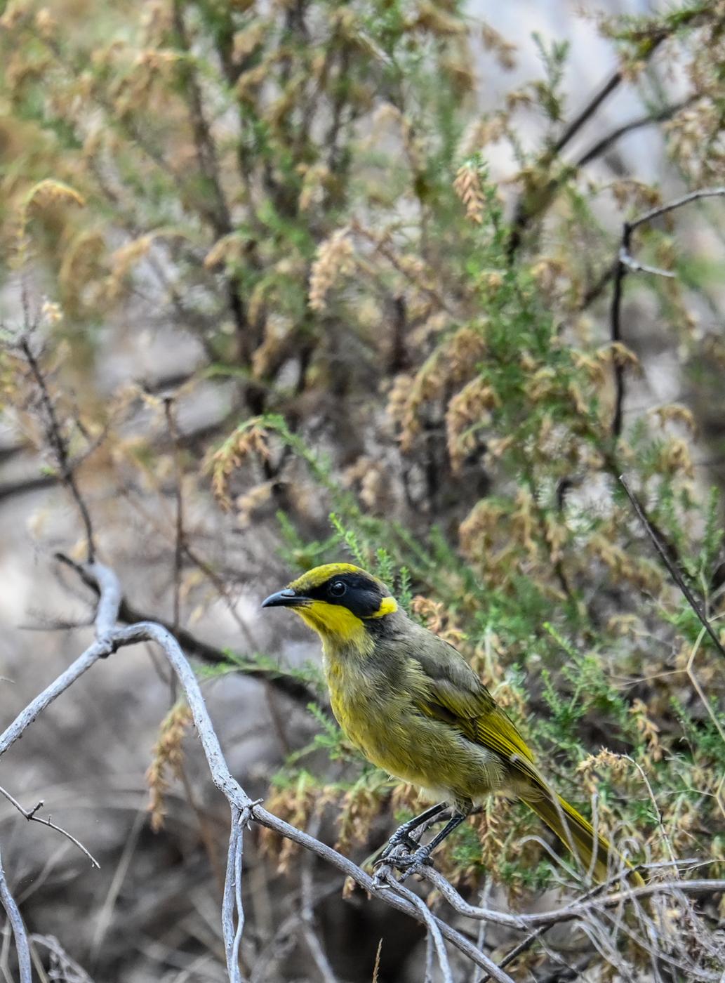 Yellow-tufted Honeyeater (Image ID 45980)