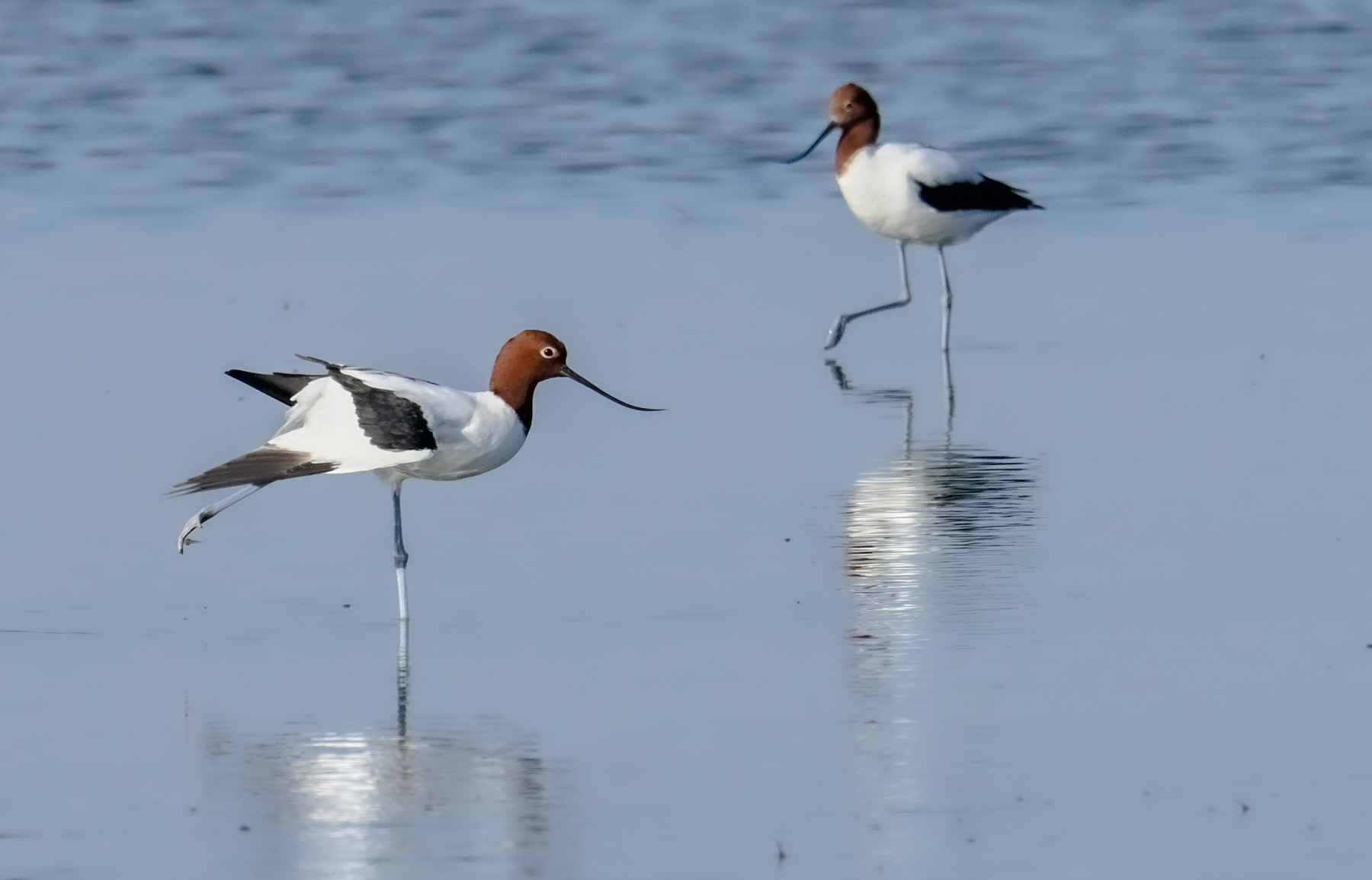 Red-necked Avocet (Image ID 46073)