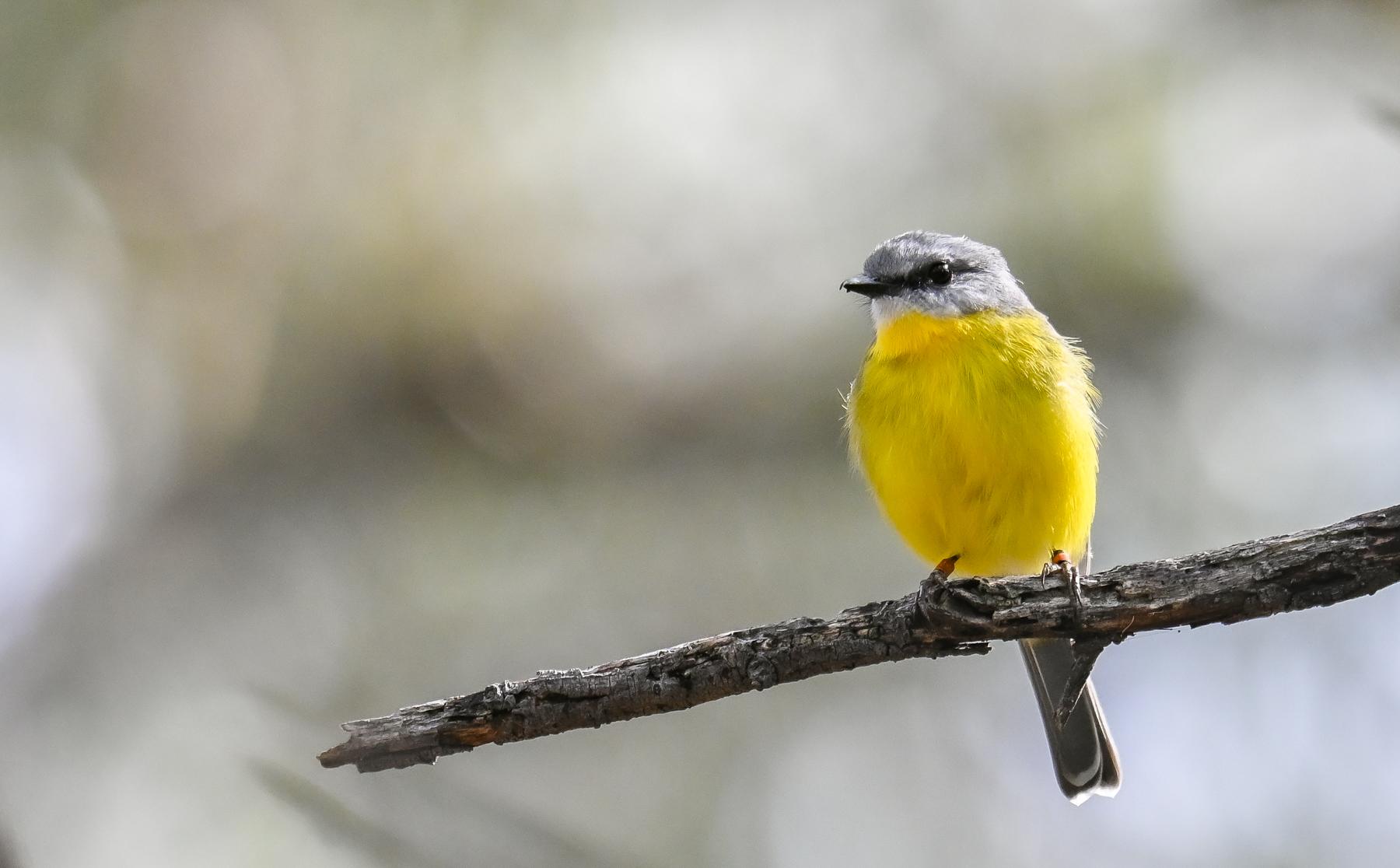 Eastern Yellow Robin (Image ID 45979)