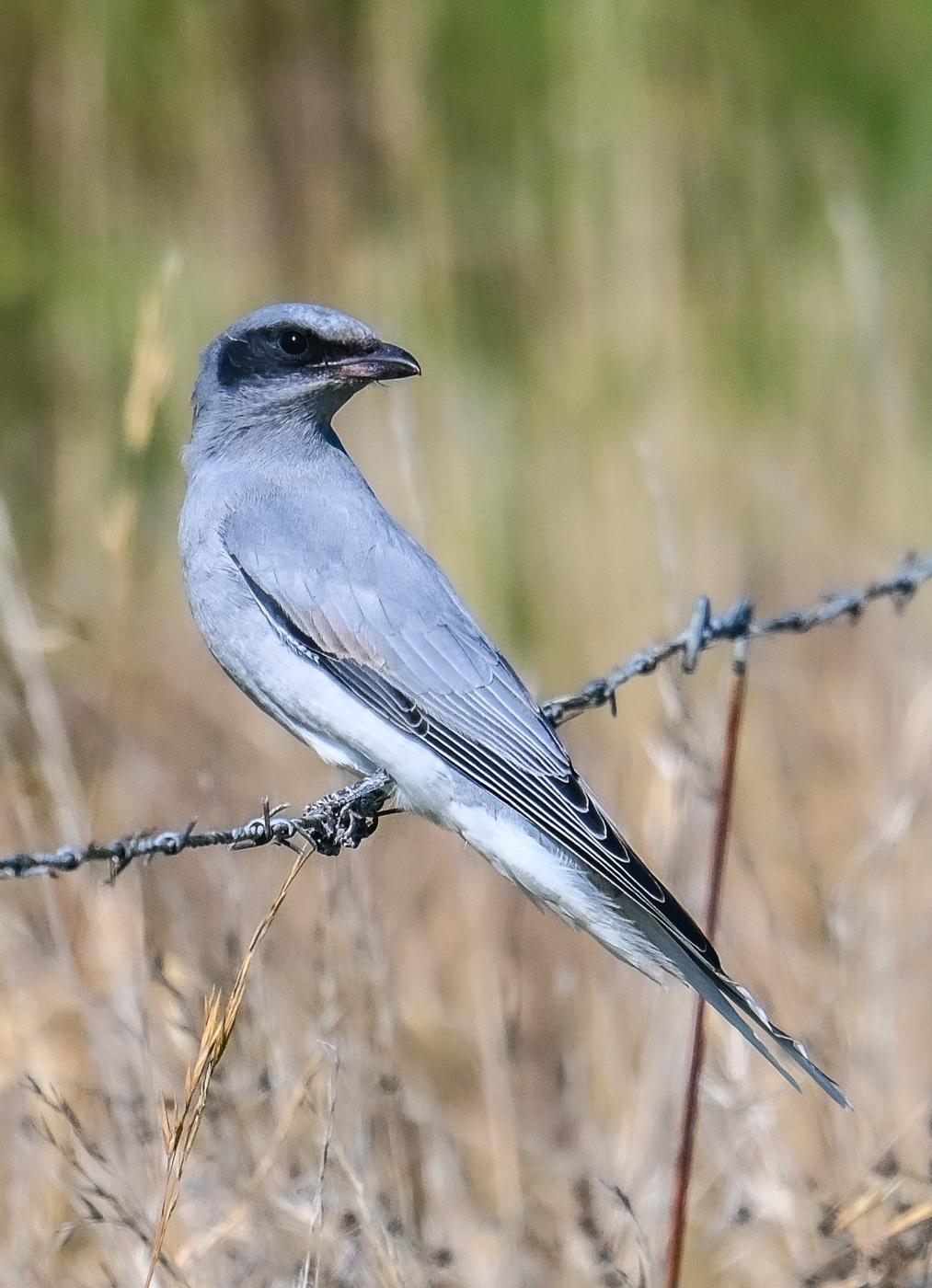 Black-faced Cuckoo-shrike (Image ID 46063)