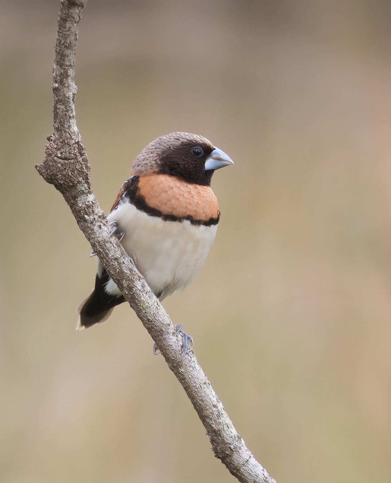 Chestnut-breasted Mannikin (Image ID 46472)