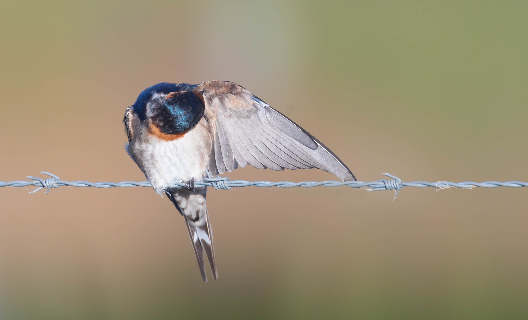 Welcome Swallow (Image ID 46065)