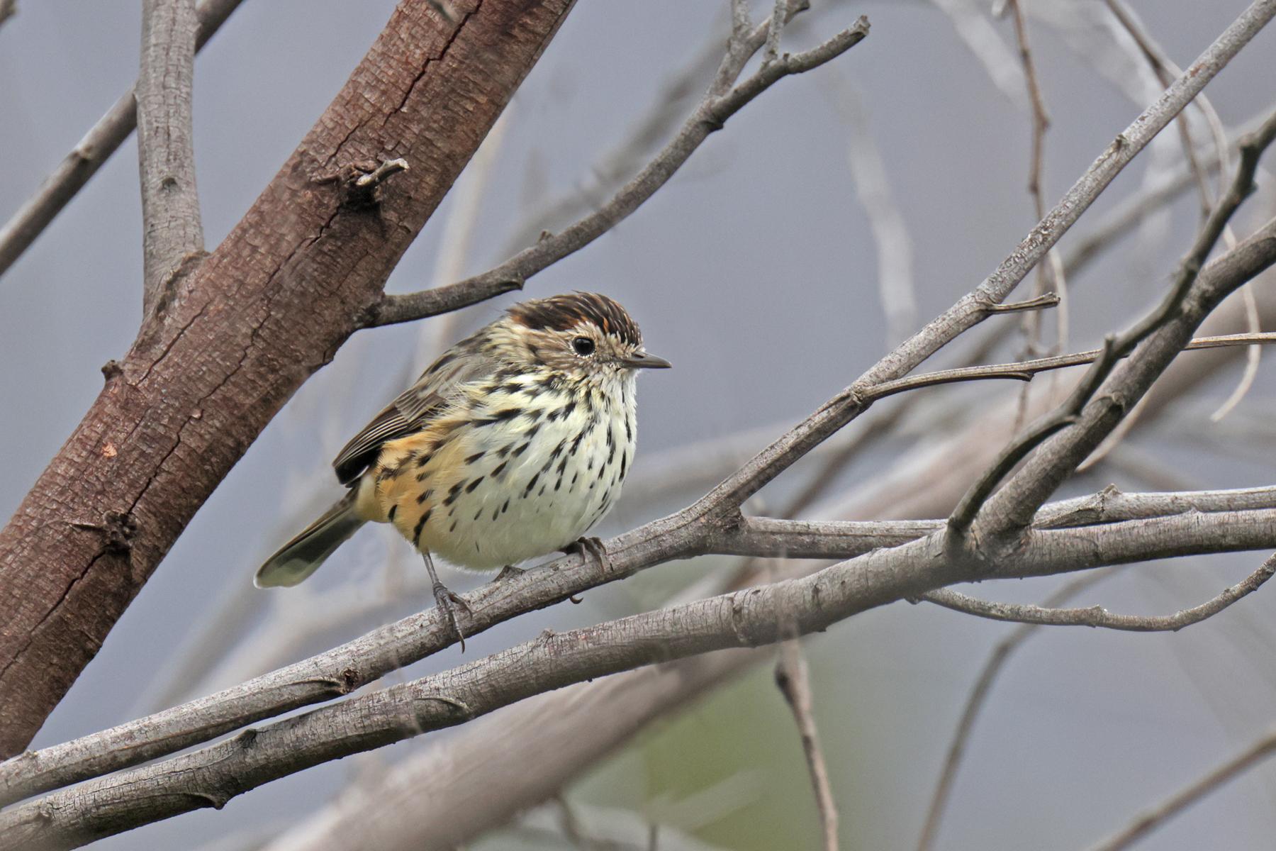 Speckled Warbler (Image ID 46492)