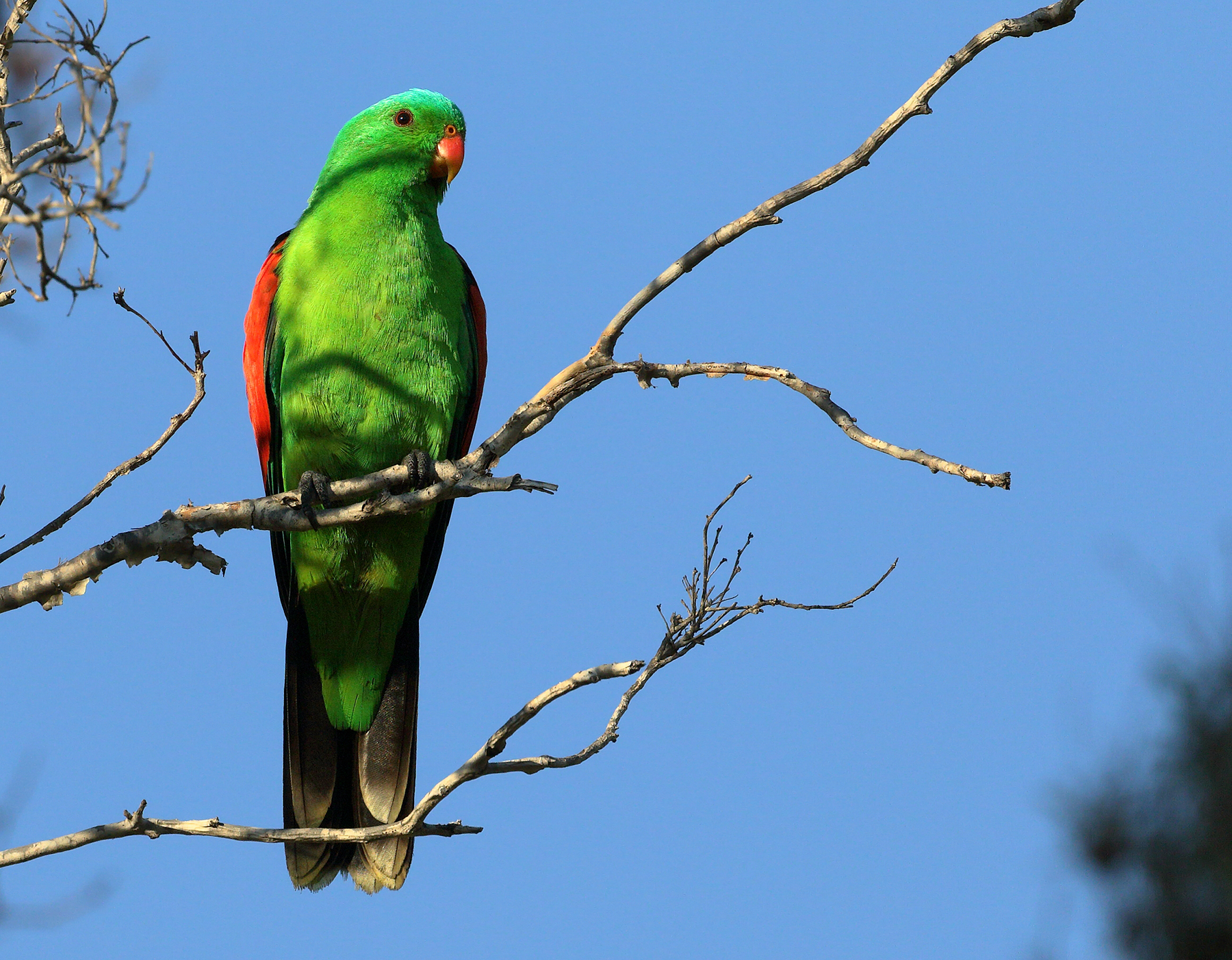 Red-winged Parrot (Image ID 46310)
