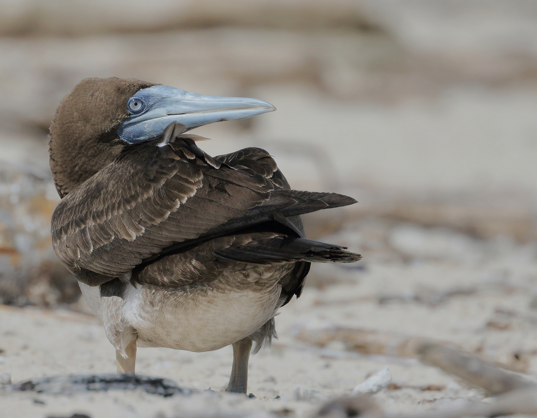 Brown Booby (Image ID 46344)